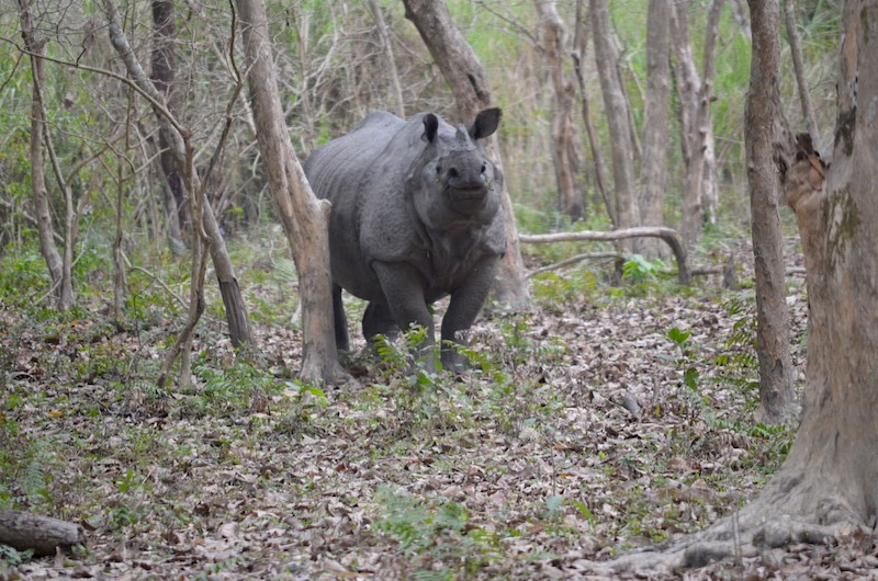 A greater one-horned rhino in Assam's Orang National Park. Photo: JP Bodo.