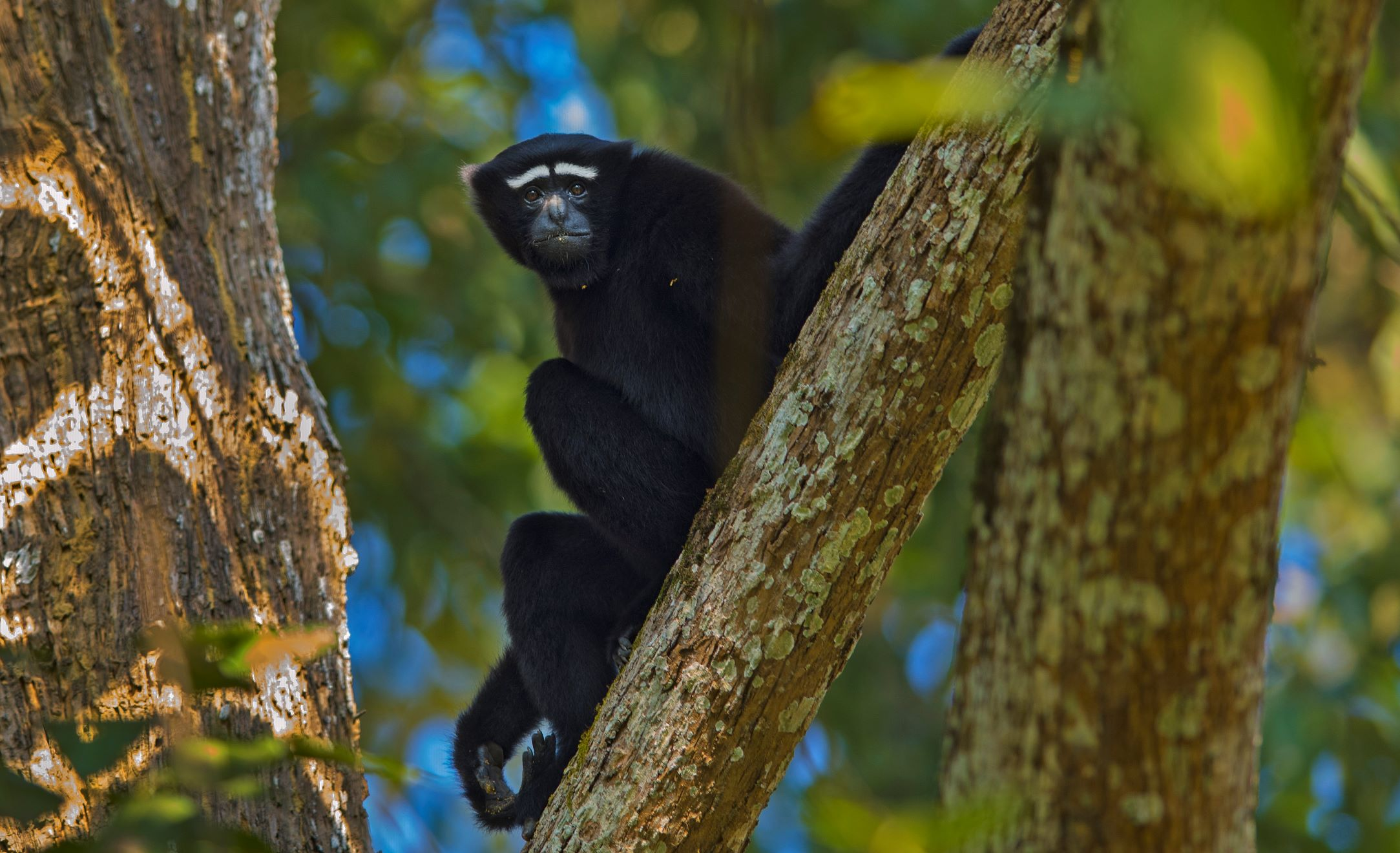 Swift and agile, the hoolock gibbon is well adapted to an arboreal life. It rarely steps down to ground level.