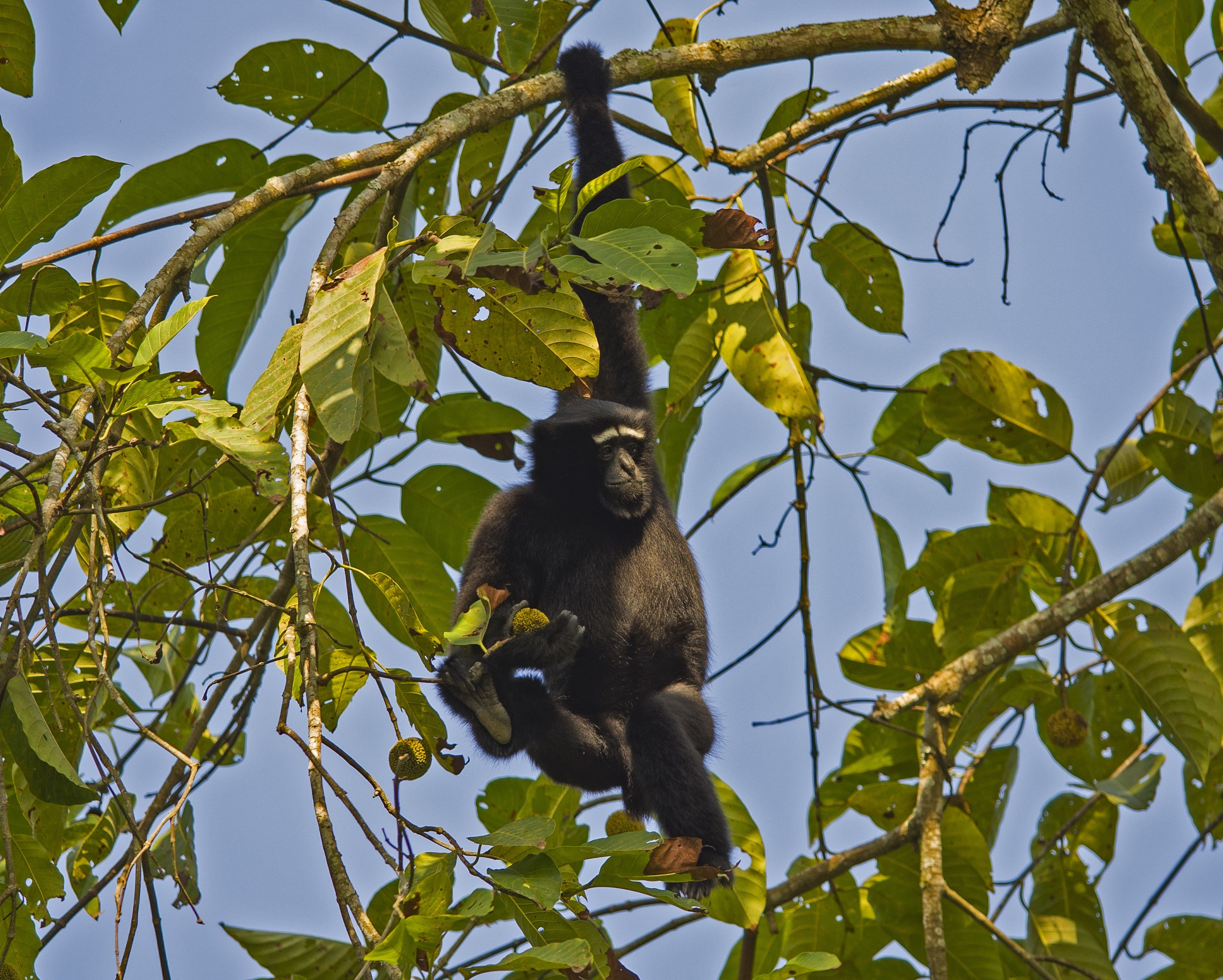 Considered one of the most endangered primates in the world, the western hoolock gibbon is precariously hanging on to survival in a few protected areas in India's Northeast. Photo: Dhritiman Mukherjee