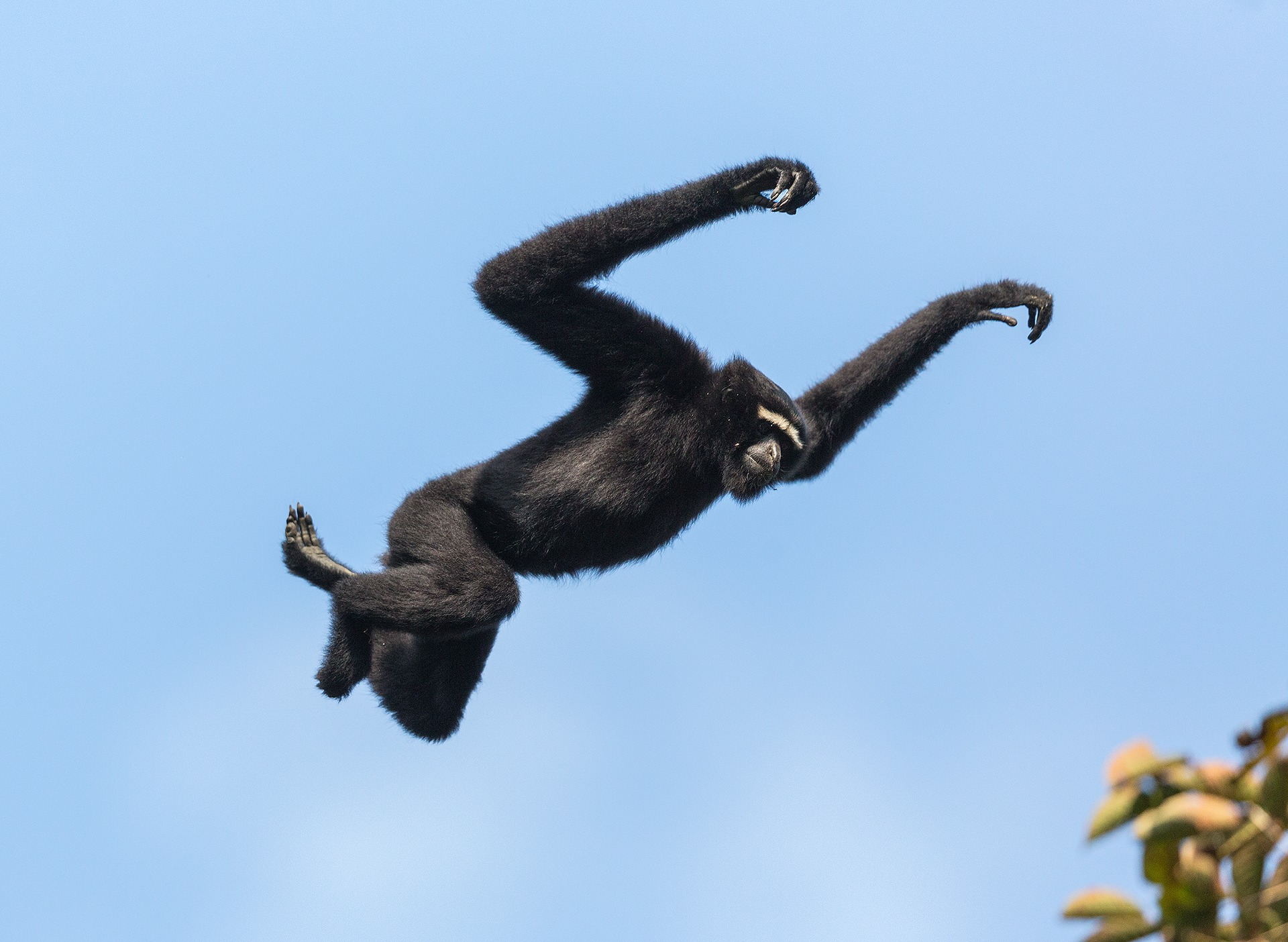 The gibbon's long, slender arms allow it to swing from one tree to another, covering up to six metres in one swing. Photo: Arindam Bhattacharya