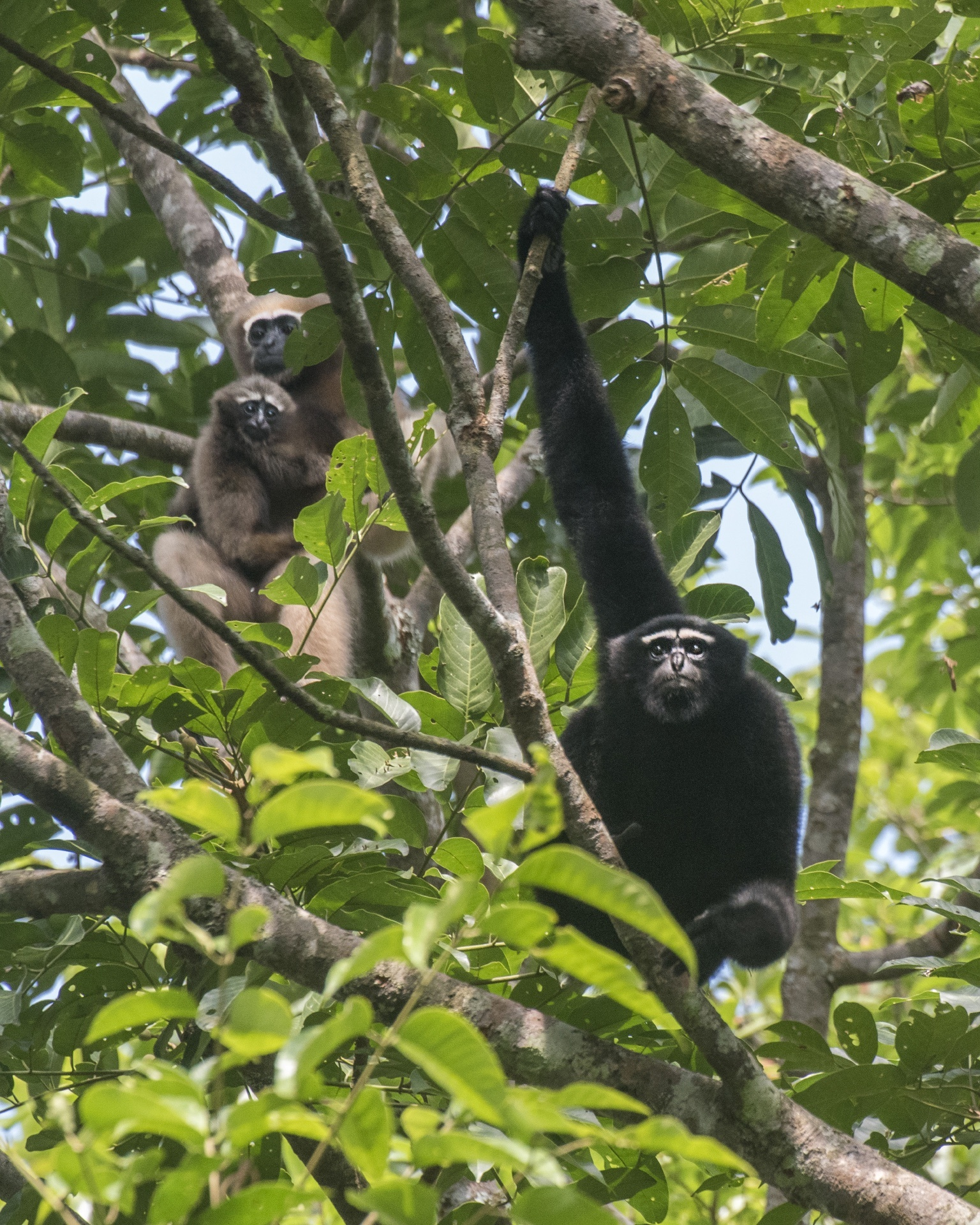 Of similar sizes, male and female hoolock gibbons can be differentiated by the colour of their dense hair — black for the male and copper-tan for the female. A male and female will form a monogamous pair that stays together for several years. Photo: Udayan Borthakur
