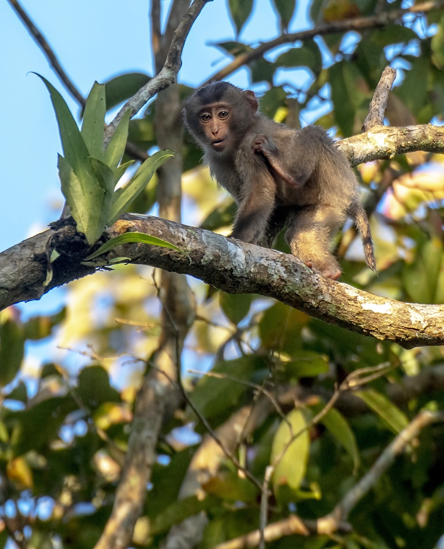 Infant macaques usually stay by their mother's side, but begin to explore their surrounds by the time they around a month old. Photo by: Udayan Borthakur