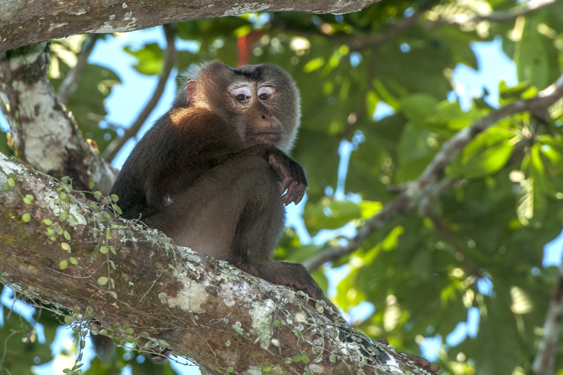 The macaques have olive brown fur all over their body, except their undersides, which are white. Photo: Udayan Borthakur