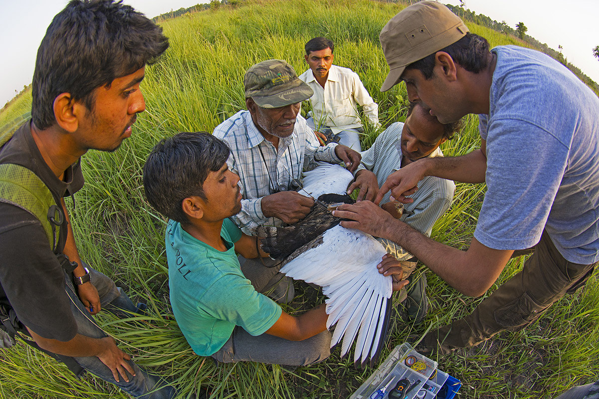A team of biologists attach a satellite tracking device on a trapped bird. Photo: Dhritiman Mukherjee