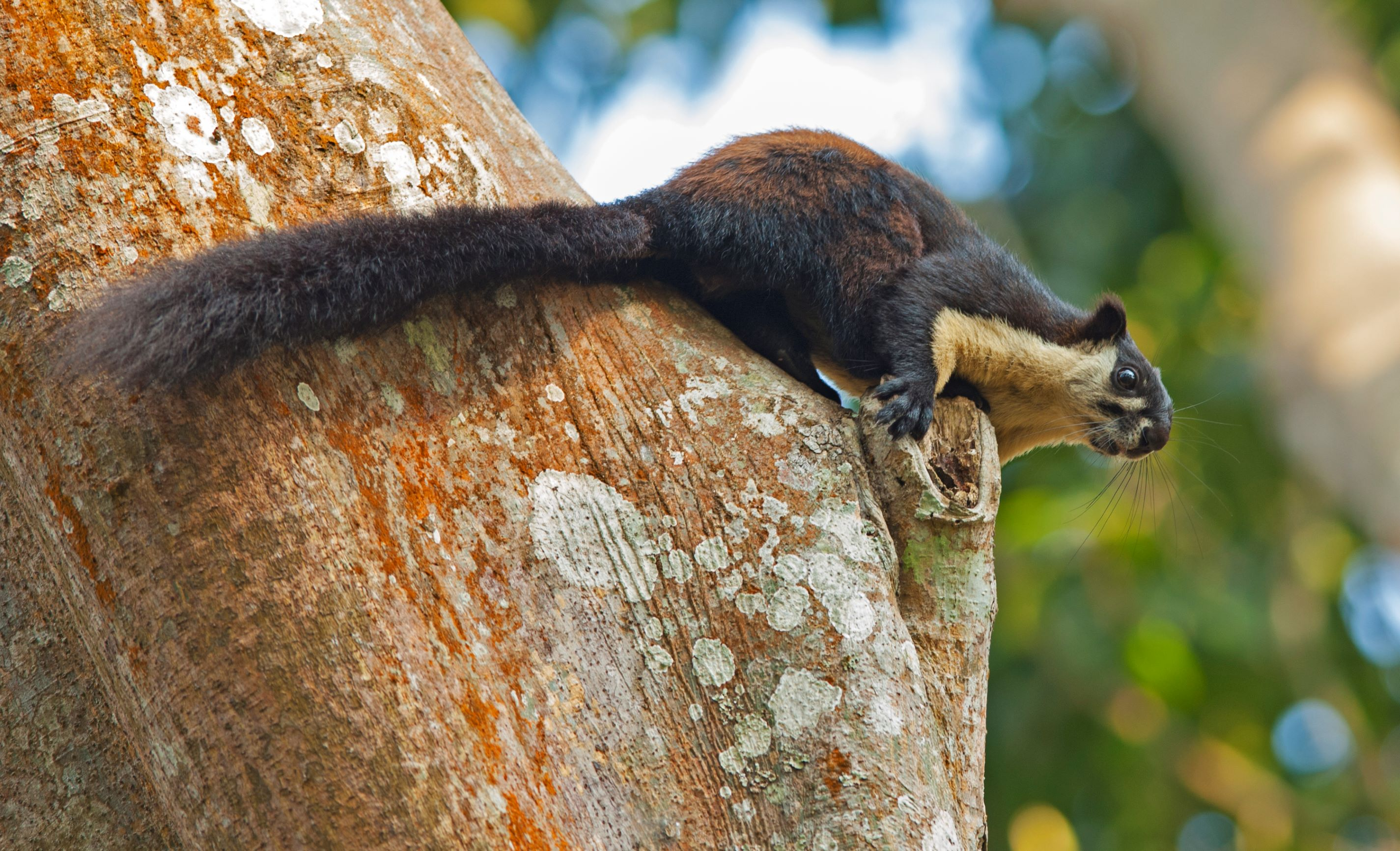Fragmented patches of forests with disconnected canopies pose a great threat to the Malayan giant squirrels. Their global population is declining, and they are listed as 'Near Threatened' on the IUCN Red List. Photo: Dhritiman Mukherjee