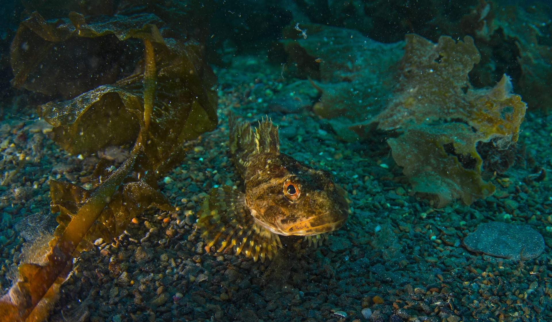 Like the ray, the Arctic sculpin too relies on camouflage, hiding among kelp forests when predators approach. This fascinating fish has the ability to tolerate temperatures below freezing, due to antifreeze proteins in its body tissue.