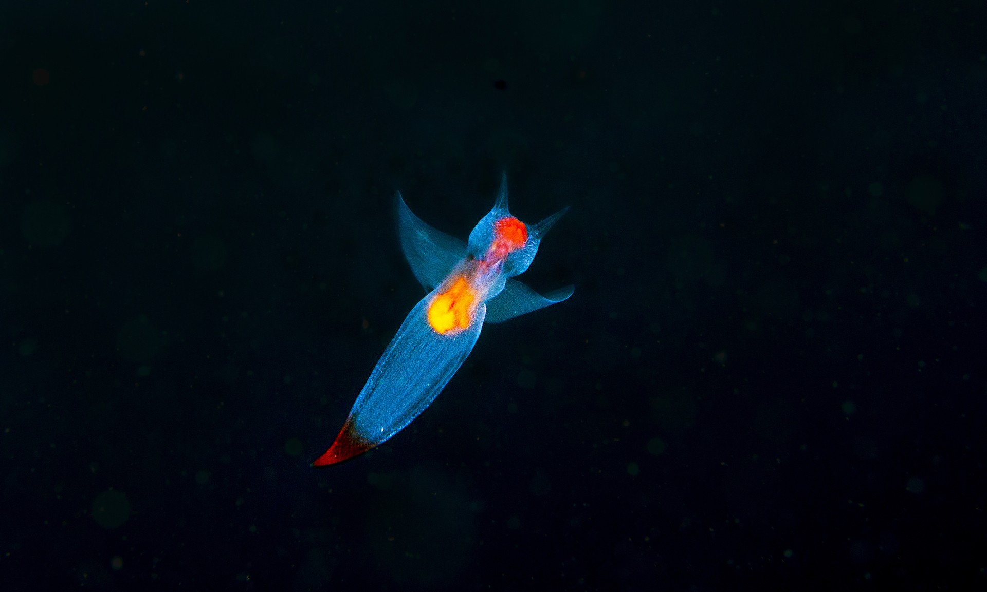 Much less common to see is the sea angel. A member of the sea slug family, sea angels are an ethereal sight, like tiny lanterns floating through inky skies. They are no larger than a fingernail.
