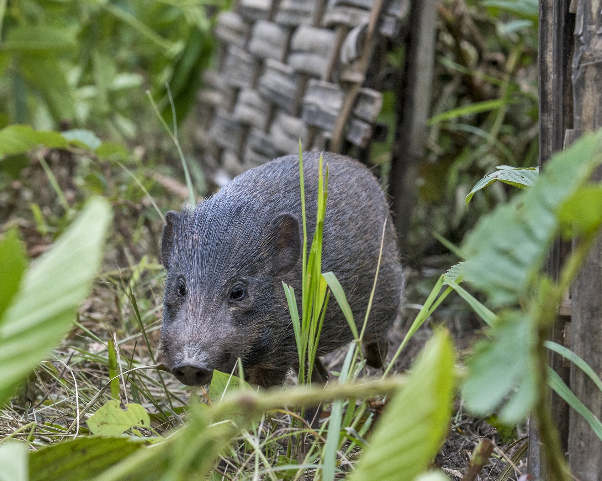 The rarest wild pig species of the world, the pygmy hog, was wiped out of the wilderness in the 1960s. It can now be found in the grasslands of Assam thanks to the Pygmy Hog Conservation Programme Photo: Udayan Borthakur
