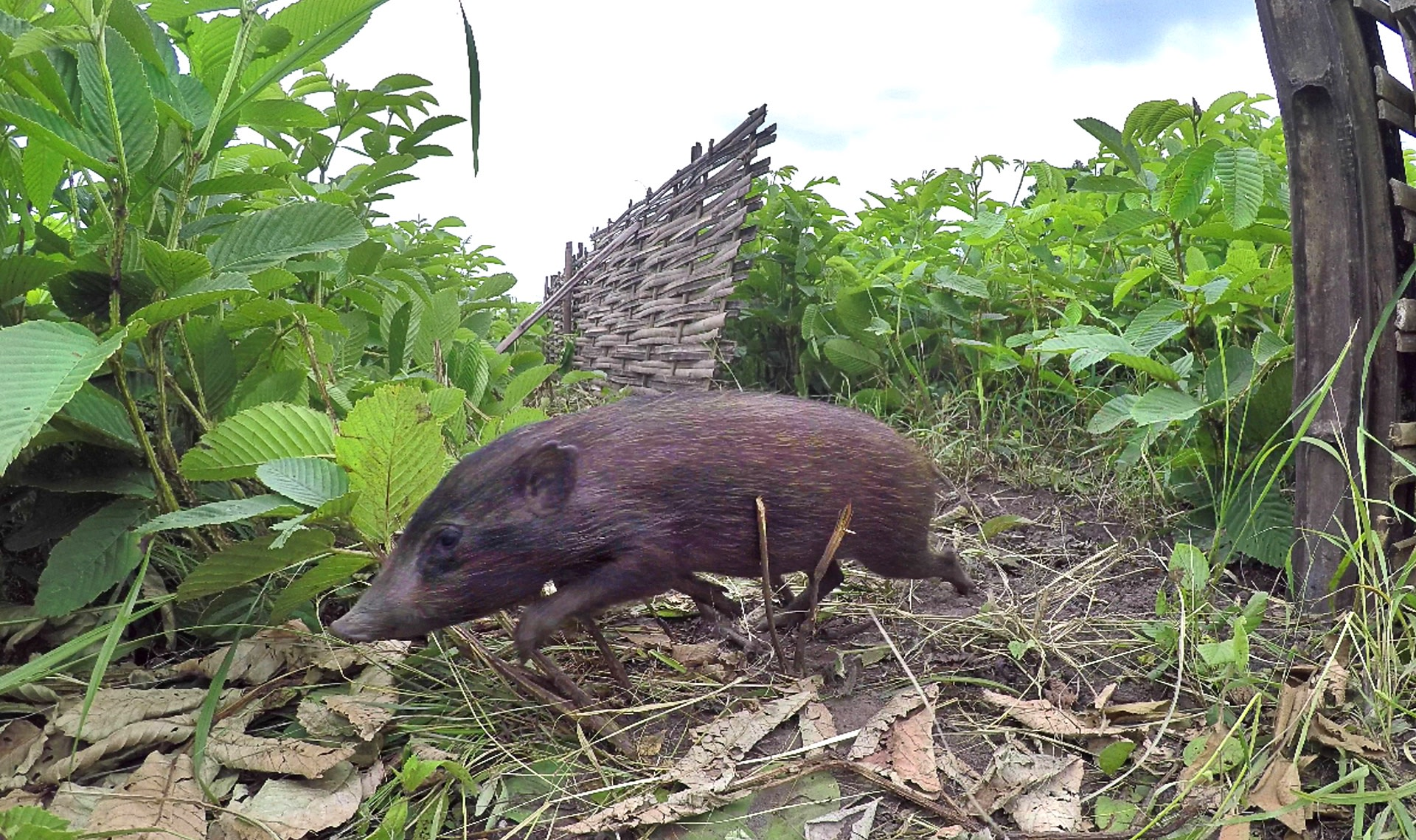 Captive-raised pygmy hogs were released in the Sonai-Rupai and Barnadi Wildlife Sanctuaries and the Orang National Park in Assam, where their population has increased to around 200. Photo: Udayan Borthakur