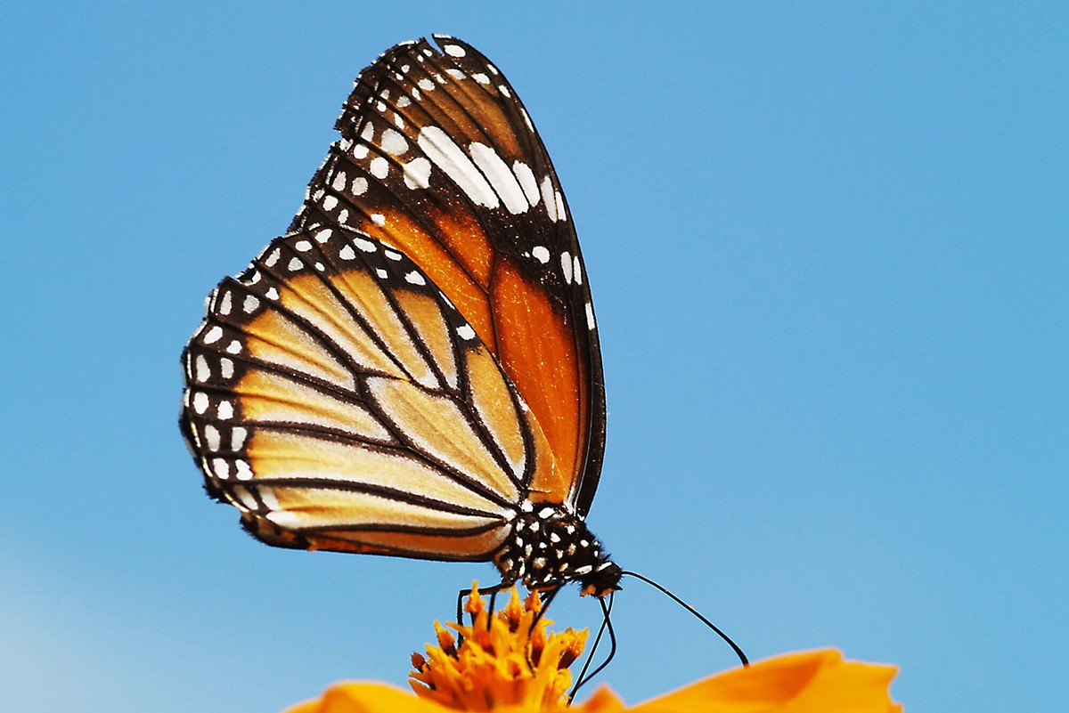 A striped tiger butterfly (Danaus genutia) perched on a flower. Photo by Ullasa Kodandaramaiah.