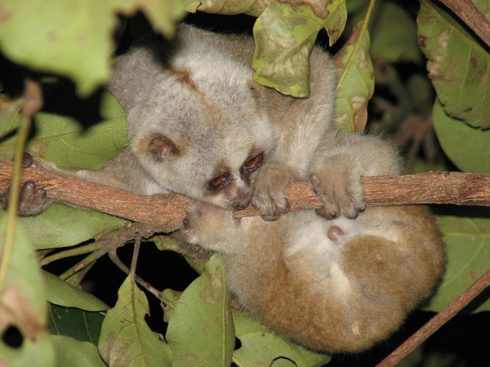 The flexible behaviour of the slow loris allows them to survive in a range of habitats. However, illegal pet trade and their rampant use in traditional medicines has led to local extinctions across their range. Today, their populations are seeing a steep decline and as a result, they are listed as 'Vulnerable'  on the IUCN Red List. Photo: Swapna Nelaballi