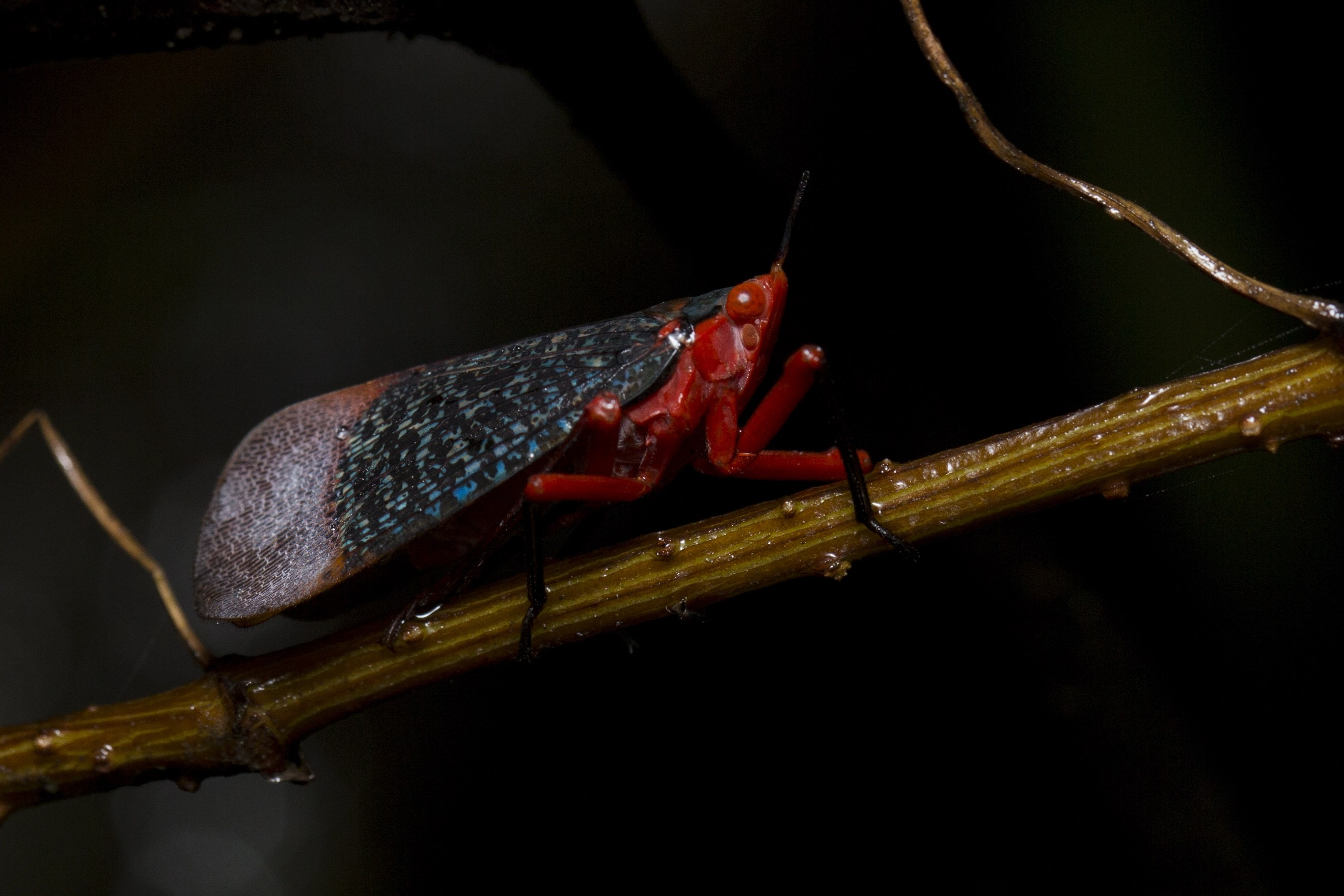 The red lanternfly (Kalidasa lantana) can be identified by a slender and flexible stalk-like outgrowth arising from above the tip of its snout. Photo: Saurabh Sawant