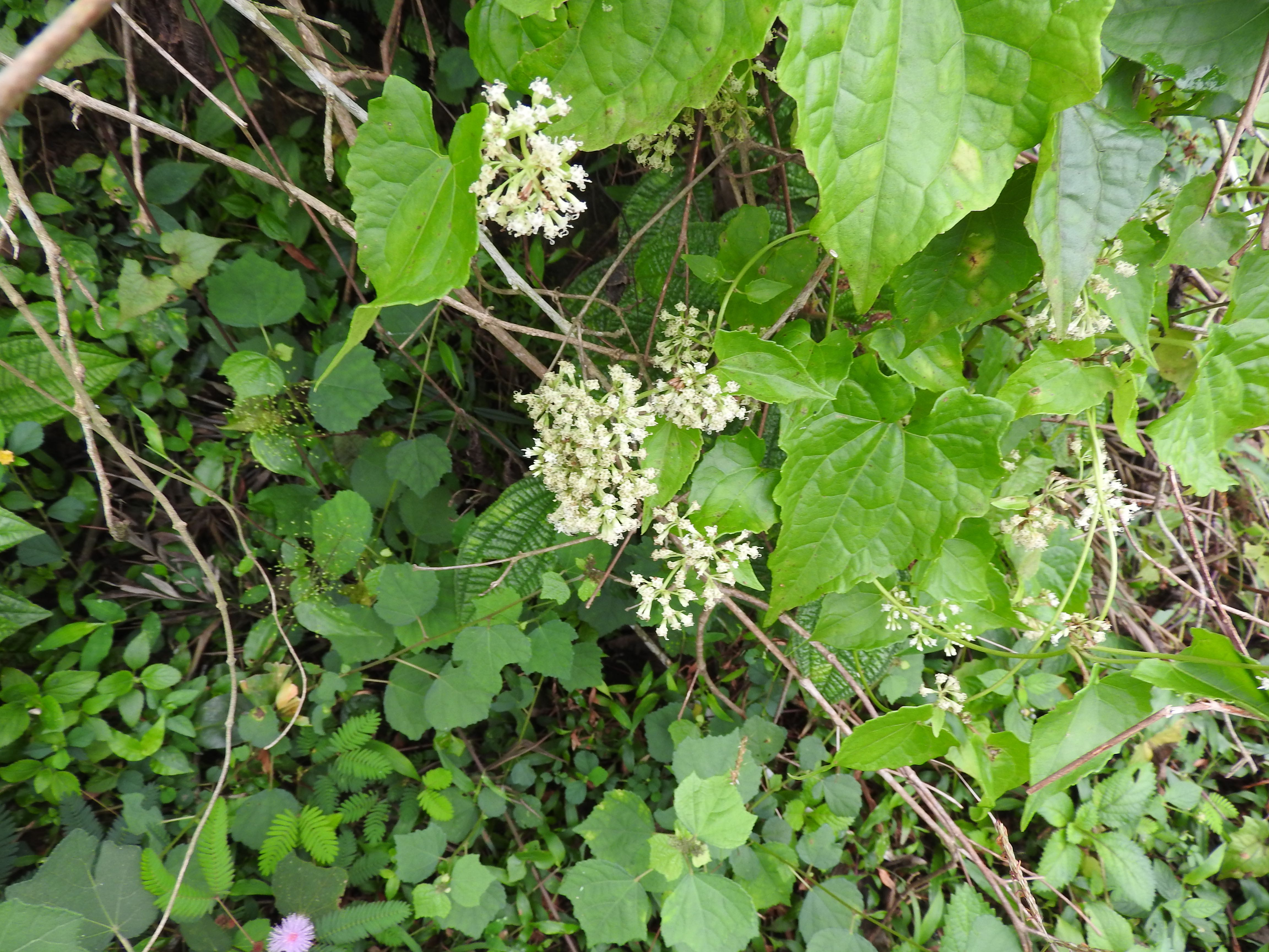 Bittervine (mikenia micrantha) is a rapidly growing invasive species that has affected several forests. A single plant produces thousands of lightweight seeds that are easily dispersed with the wind and spread quickly across large habitats. Photo: Yercaud-elango - CC BY-SA 4.0