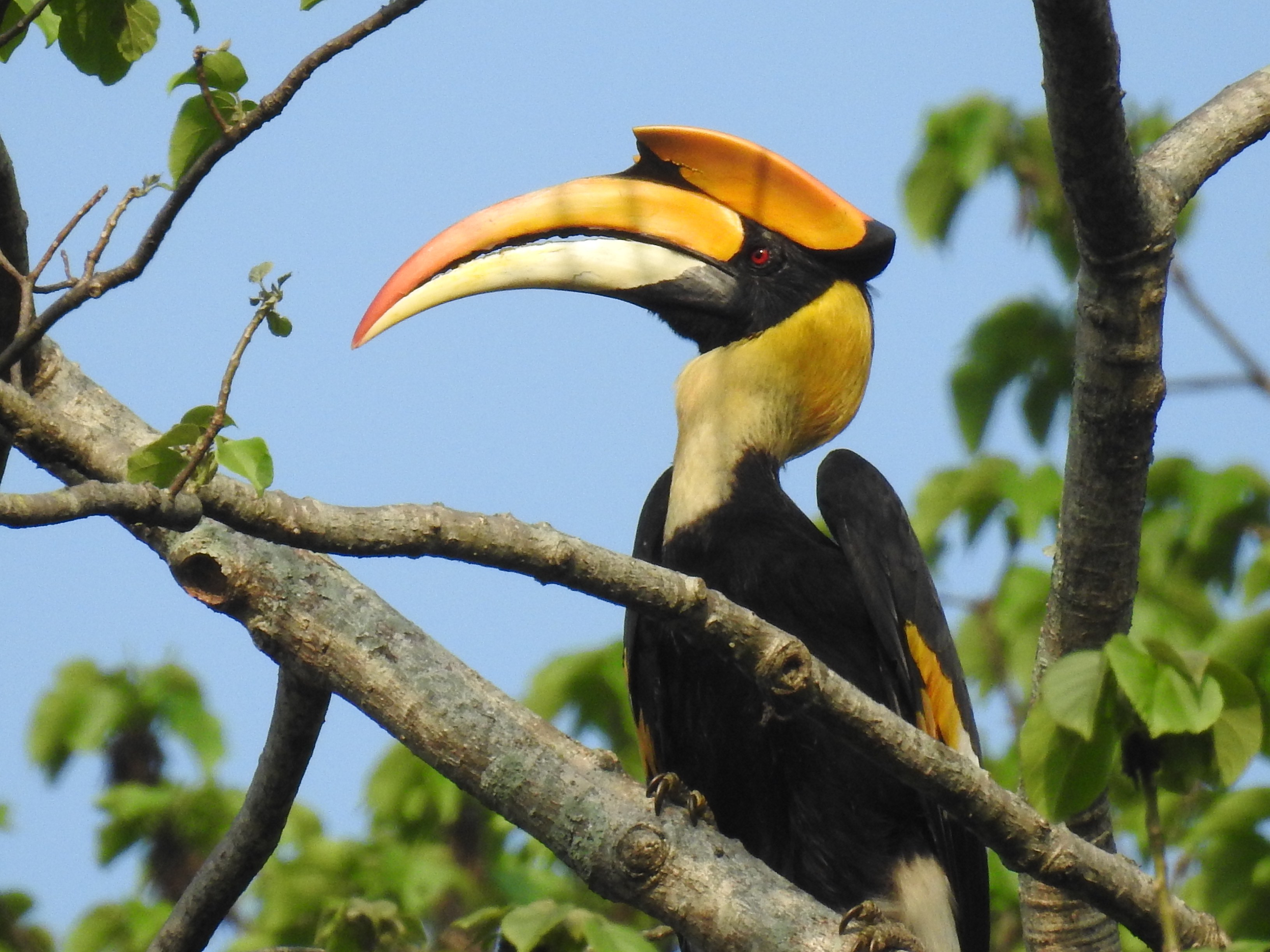 Male and female great hornbills can be identified through small differences. For instance, the males have red eyes with black skin around, while females have white eyes with red skin around. The males also have their casques edged with black in the front, while females have no black. Females are also smaller than males. Photo: Aparajita Datta