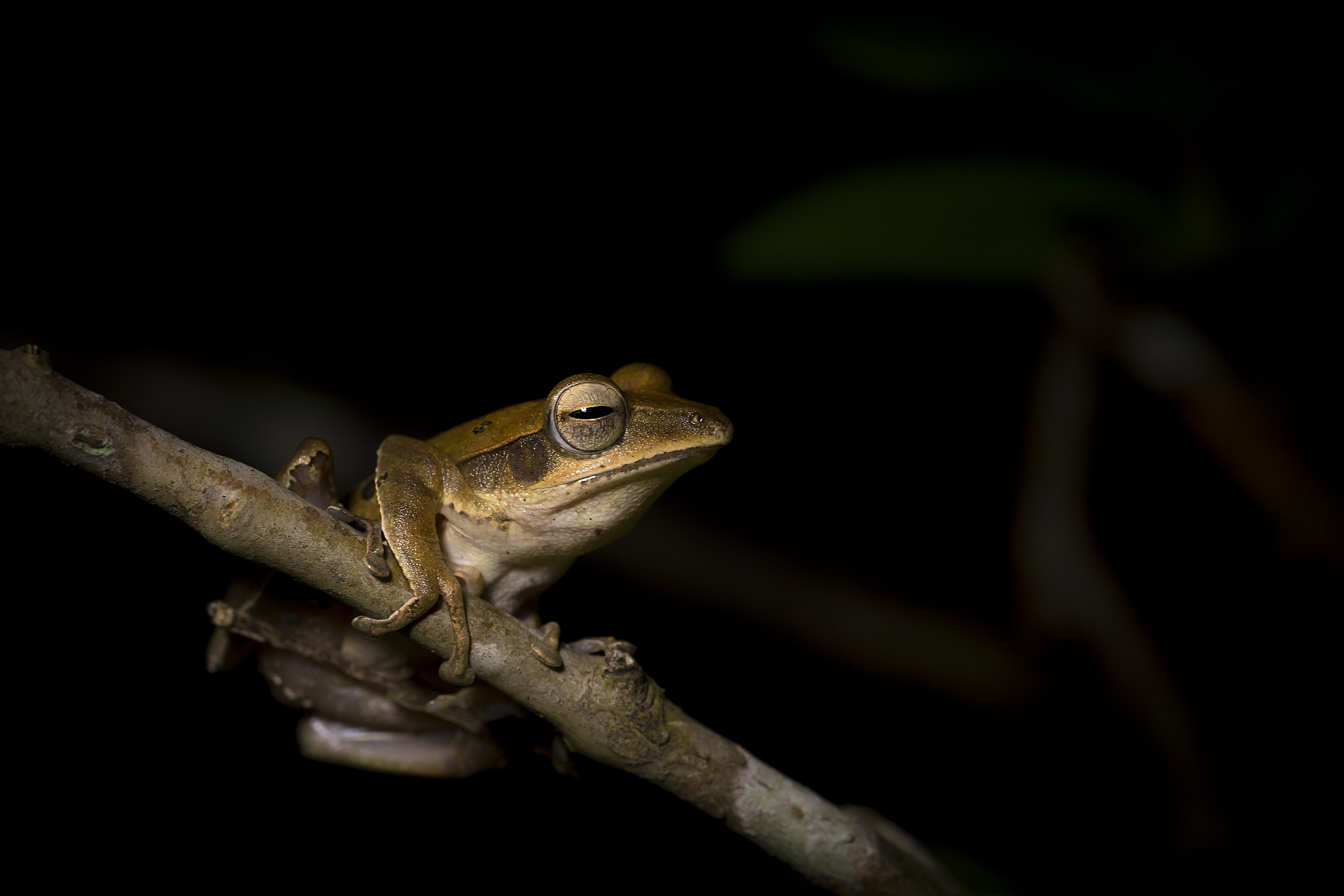 Malabar pit vipers target tree frogs such as western tree frogs, when they congregate near ponds to mate.  