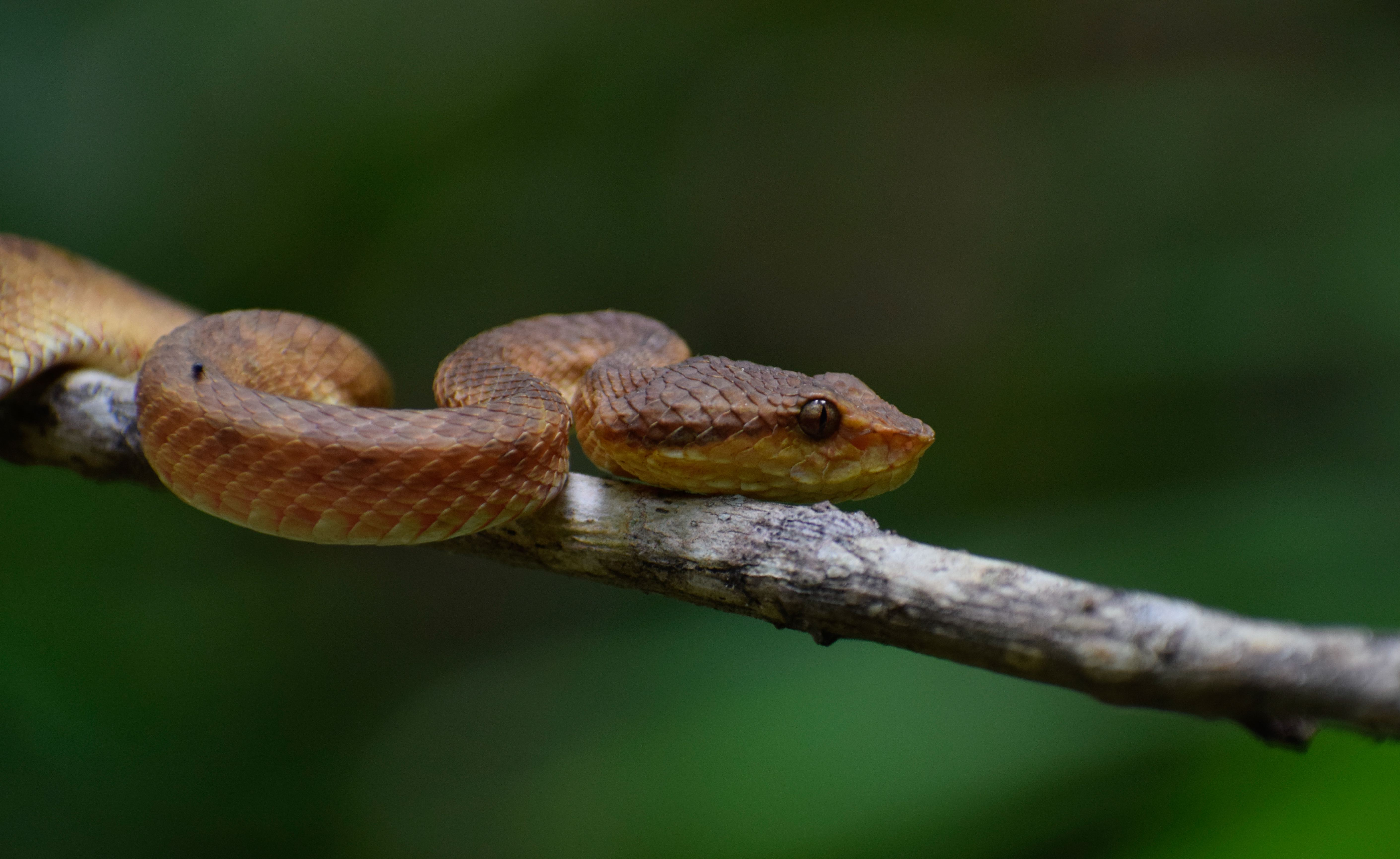 Like with other snakes found in India, few scientific studies have been done on the Malabar pit viper. As a result very little is known about the significance of its colour variations, or its habitat, diet, behaviour, and threats. Photo: Amal U S – CC BY-SA 4.0
