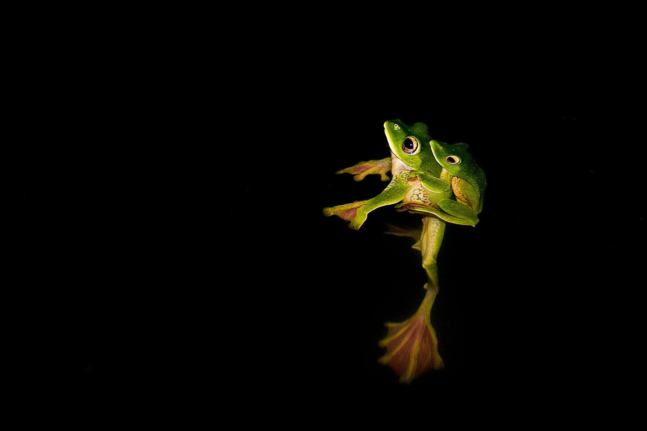Frogs such as the Malabar gliding frog constitute a major part of the Malabar pit viper's diet, especially during the monsoon.  Photo: Saurabh Sawant