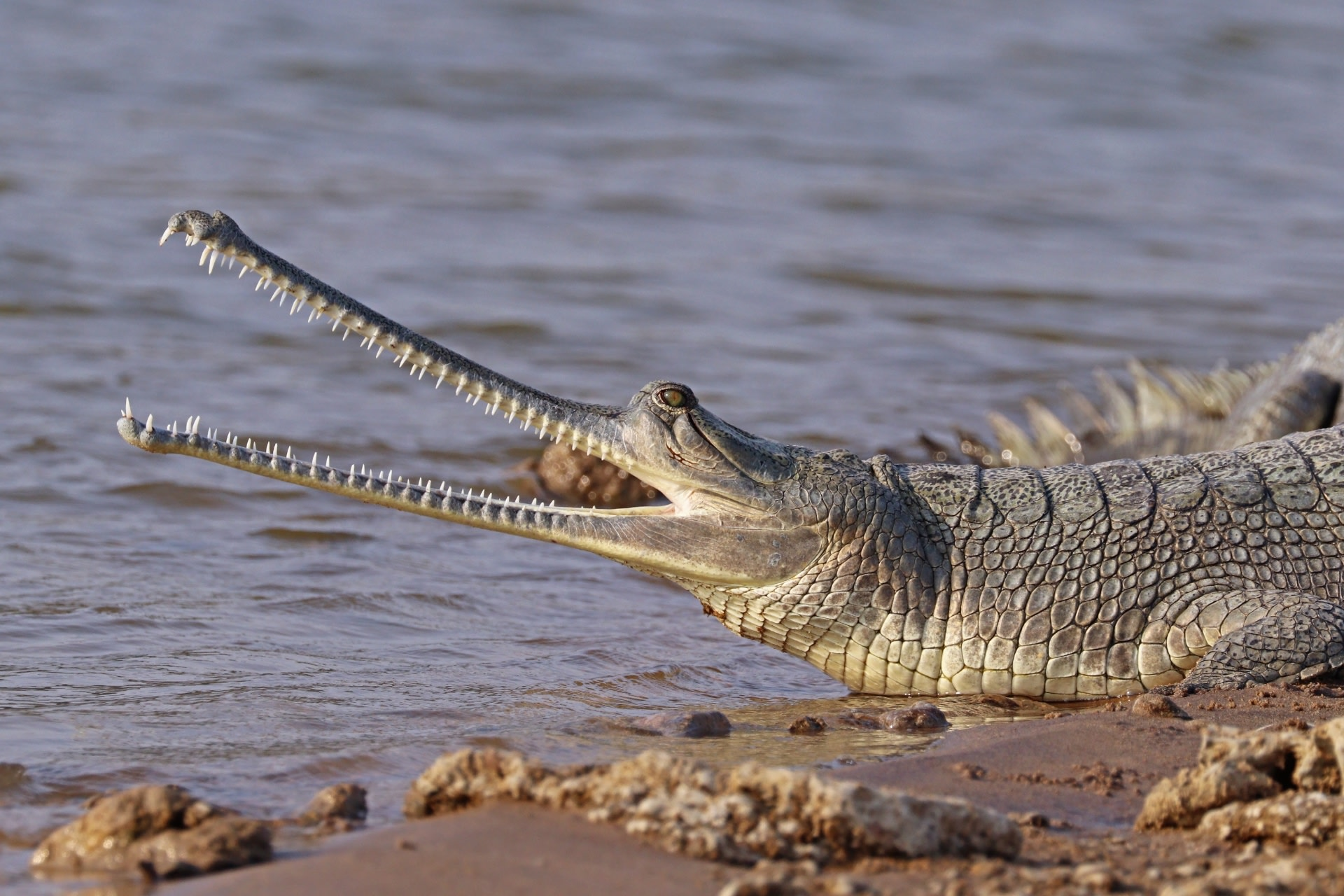 The population of gharials, a critically endangered species, has steadily increased along the Gandak river. Photo: Charles J Sharp- CC BY-SA 4.0.