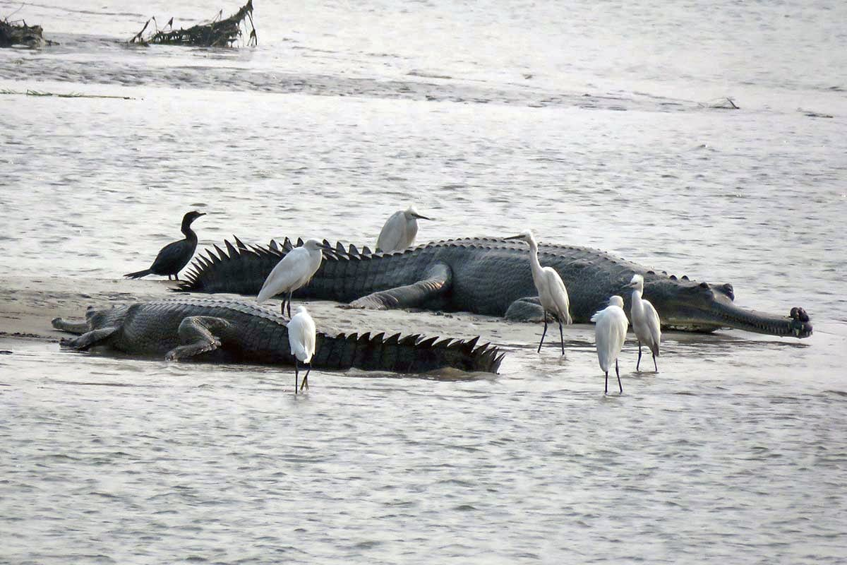 Favourable habitat conditions and a comparatively lesser disturbed river have aided in the conservation of gharials along Gandak river. Photo: Subrat Kumar Behra
