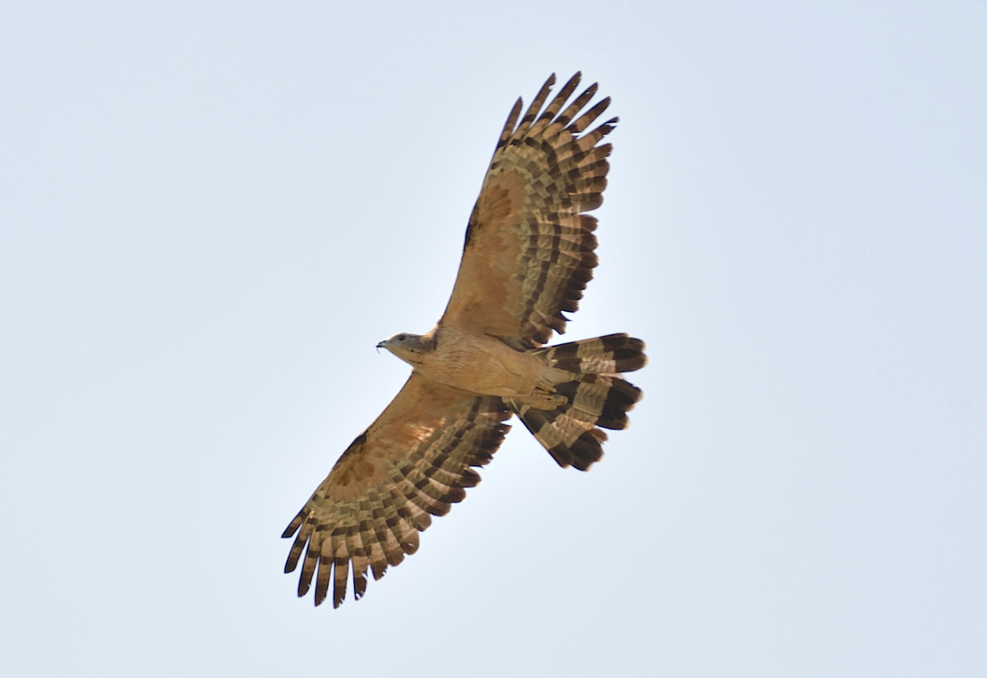 Unlike most raptors, the oriental honey-buzzard has a small pigeon-like head and long neck which help to identify the bird despite it having many morphs, or plumage colour variations. Photo: Sanjay Sondhi