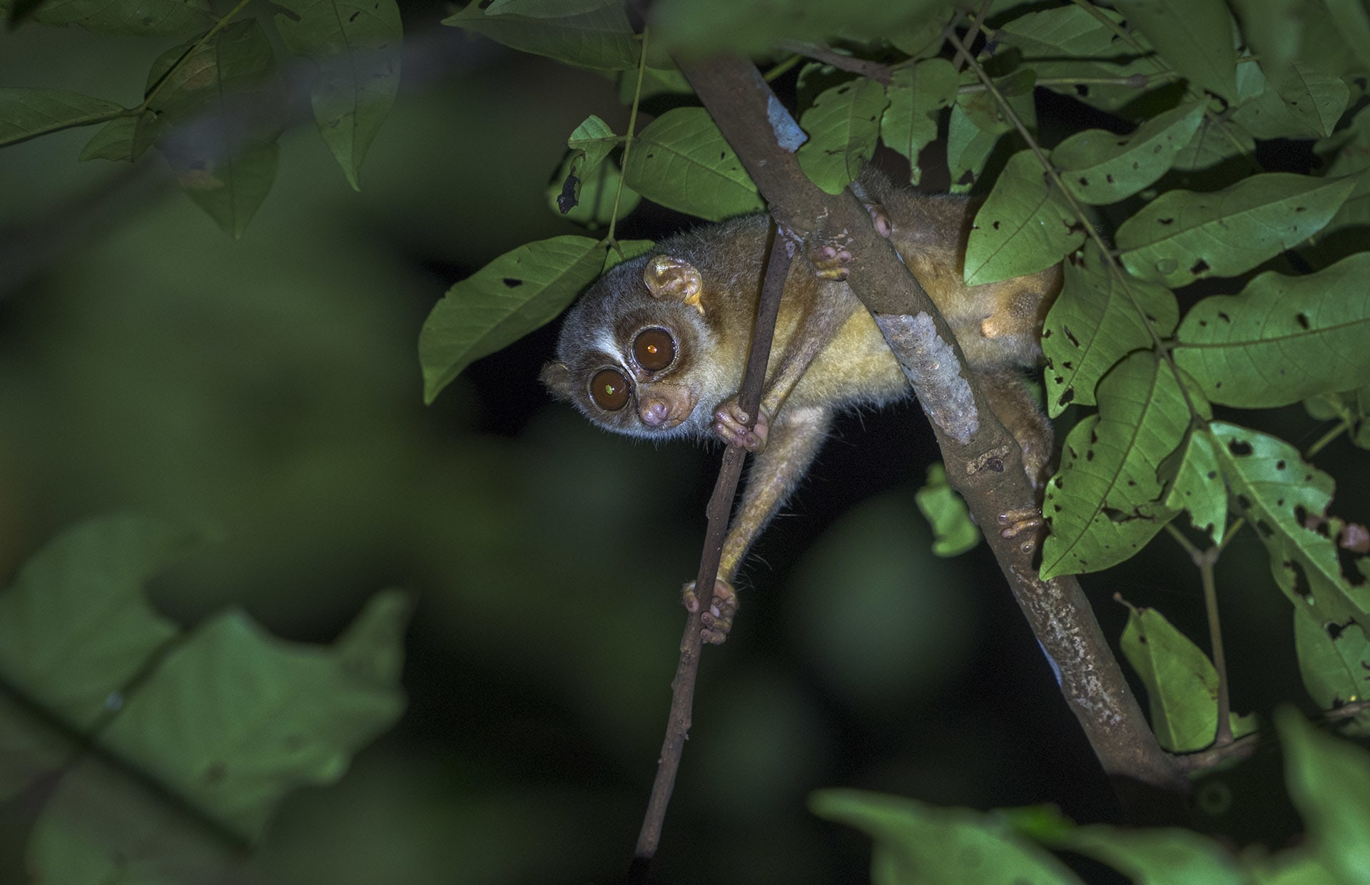 Habitat destruction and capture for the illegal pet trade are the two major threats to the survival of the slender loris. Photo: Dhritiman Mukherjee
