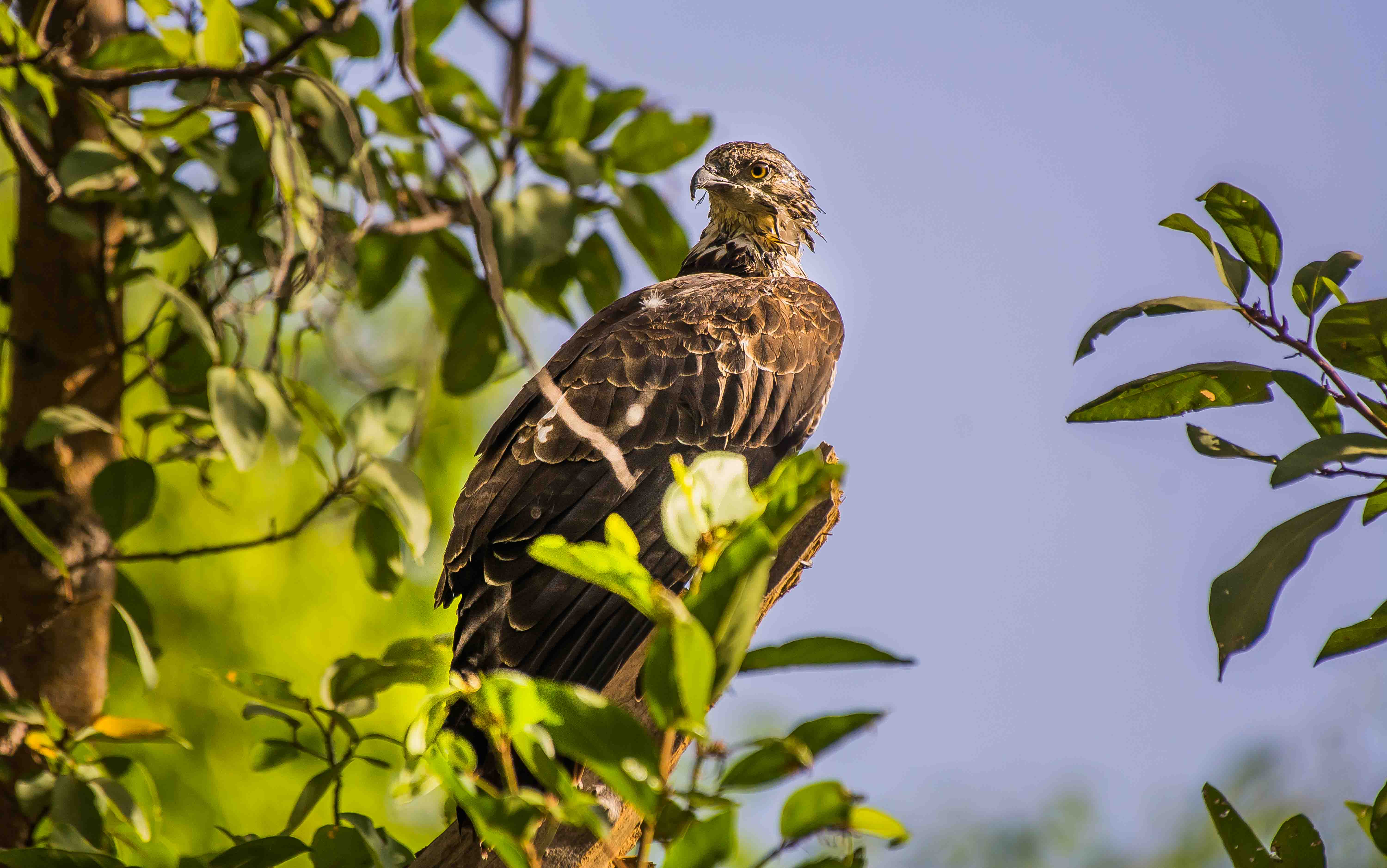 Juvenile and female oriental honey-buzzards have a brown head, while adult males are grey-headed.  Photo: Avinash Mishra -CC BY-SA 4.0  Cover Photo: A woodland inhabitant, the oriental honey-buzzard has dense, short, scale-like feathers on its lores (the area between the eyes and base of its bill). These feathers offer it protection from stings of its primary prey — bees and wasps.  Cover photo: Koshy Koshy – CC BY 2.0