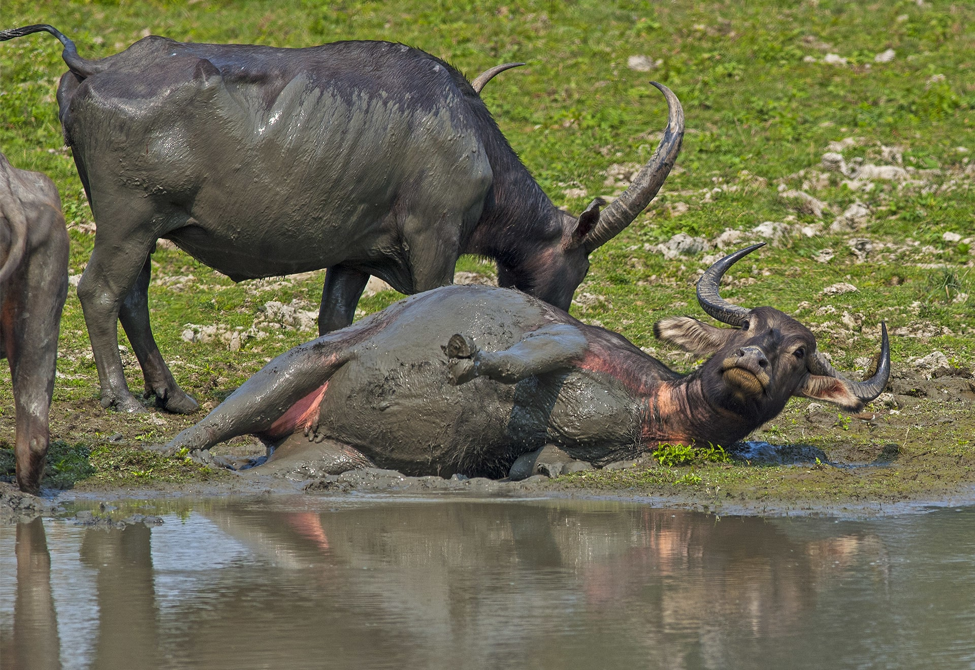 During the day wild water buffalo will either find shade in the forest, or wallow in water or mud pools to cool off and keep insect pests away. Photo: Dhritiman Mukherjee