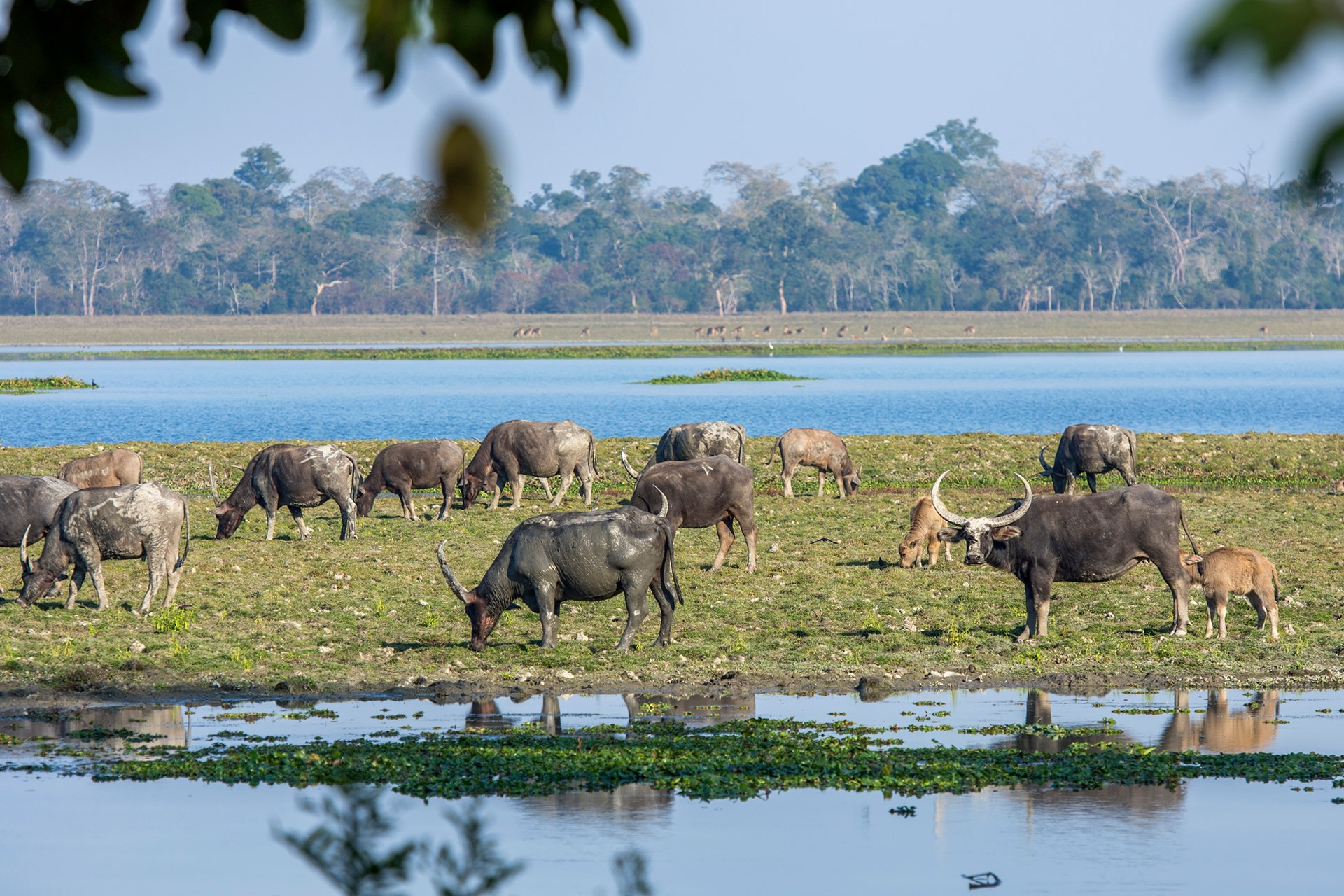 In India, wild water buffalo are mostly found in the low-lying alluvial grassland habitats of Assam. A small fragmented population exists in Chhattisgarh, Central India. Photo: Udayan Borthakur
