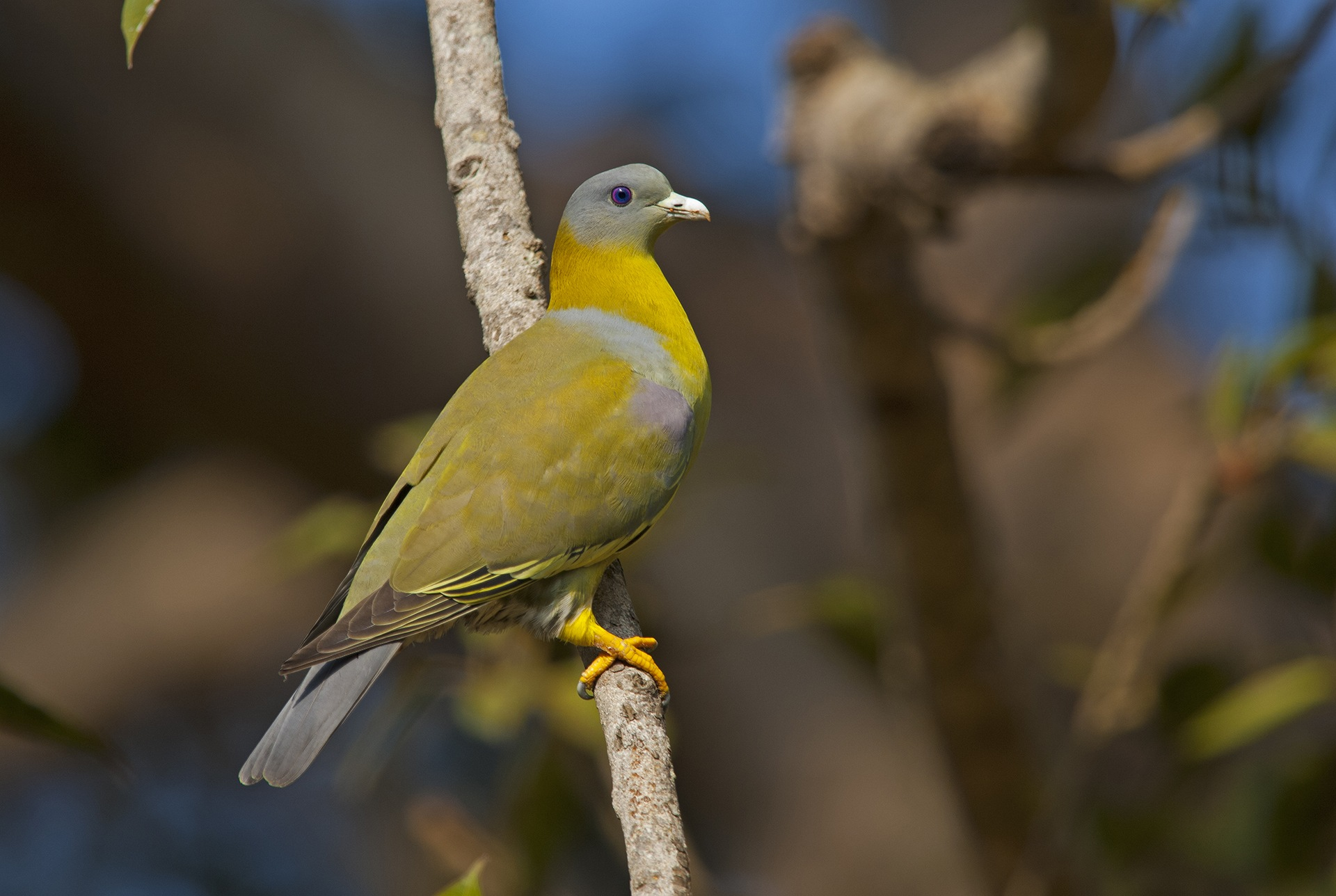 Look up into the branches to spot the yellow-footed green pigeon — a fruit-eating bird commonly seen in Kanha and other Indian jungles. It's also the state bird of Maharashtra.