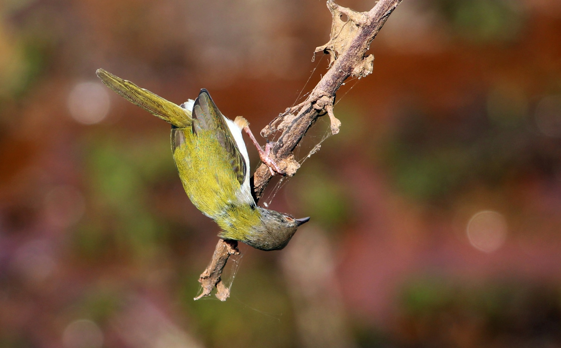 Often seen in urban gardens, the common tailorbird is named after the unique way it stitches its nest using leaves and natural fibres from plants or silk from a spider's web. Photo: Rison Thumboor – CC BY 2.0