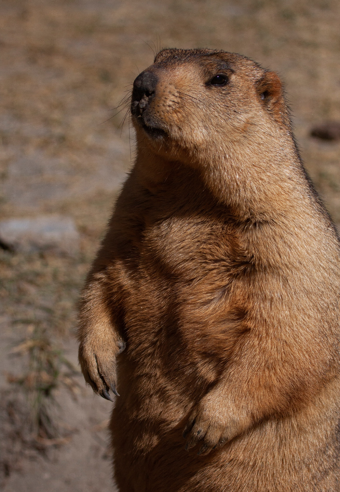 Marmots stand on their hind legs like sentinels outside their burrows, surveying the landscape for any hint of any threat.  Cover image: Himalayan marmots are small, burrow-dwelling mammals found in the Himalayas and the Tibetan Plateau. They are rather skittish and will only head out of their burrows to forage on grasses, lichen, flowers, berries, and roots when they are sure the coast is clear. Photos: Shivang Mehta