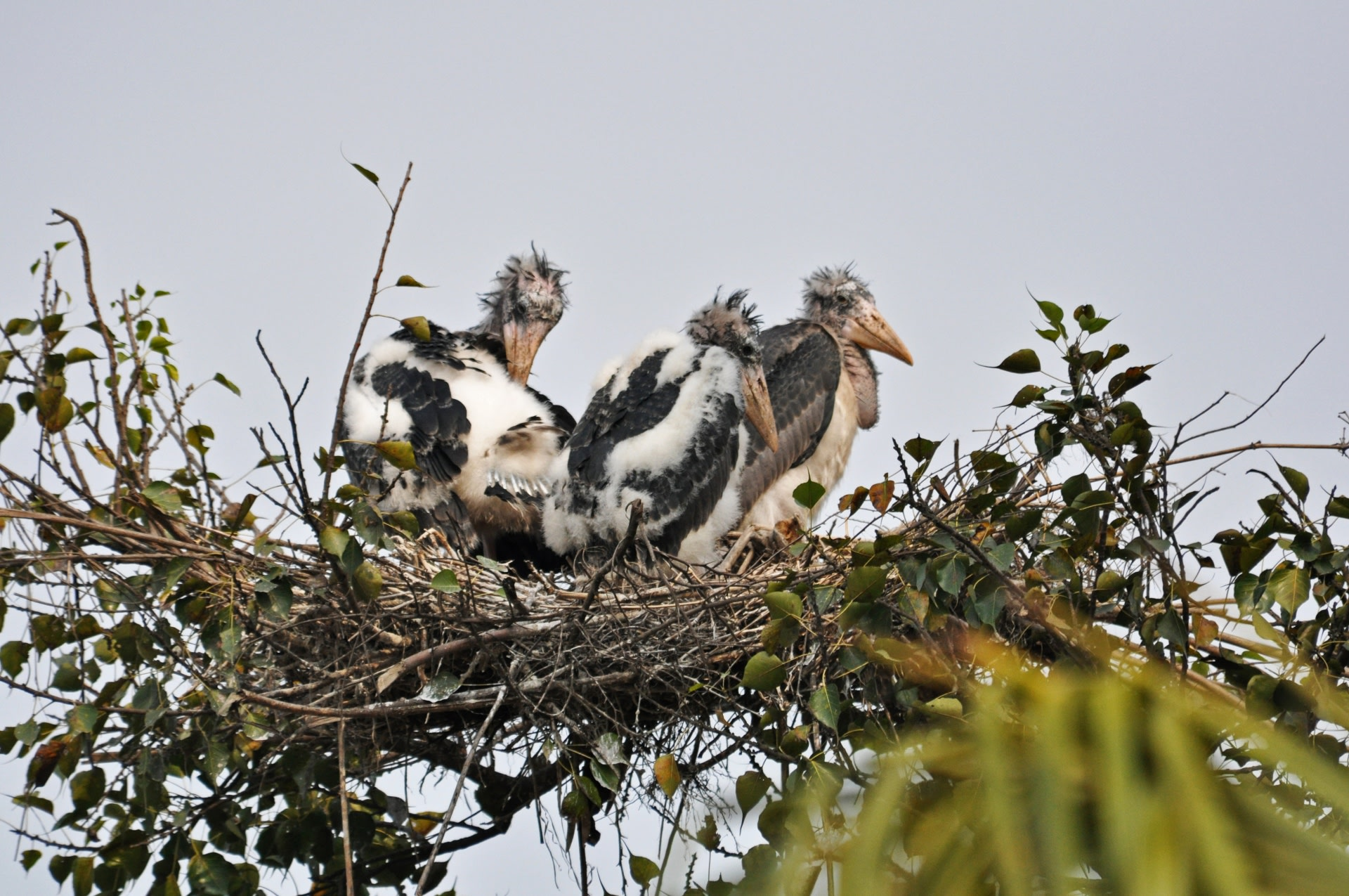 Greater adjutants are colonial nesters, which means that several pairs will build nests on a single tree. They nest mostly on large trees that have sparse foliage, which allows them to take off and land with ease. Photo courtesy: Arvind Mishra