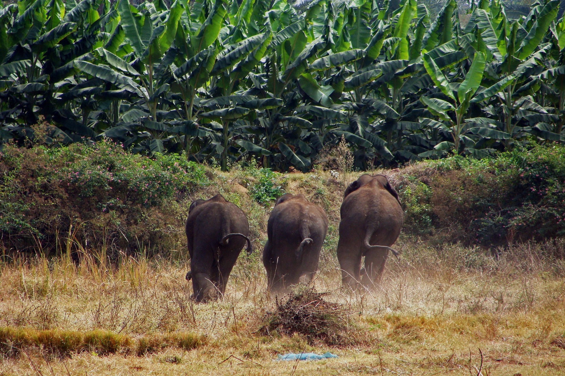 An all-male group of elephants moves towards a banana plantation. Researchers believe that males, usually territorial, form herds to survive threats of attack from humans in places with diminished food resources. Photo: FEP/Nishant Srinivasaiah