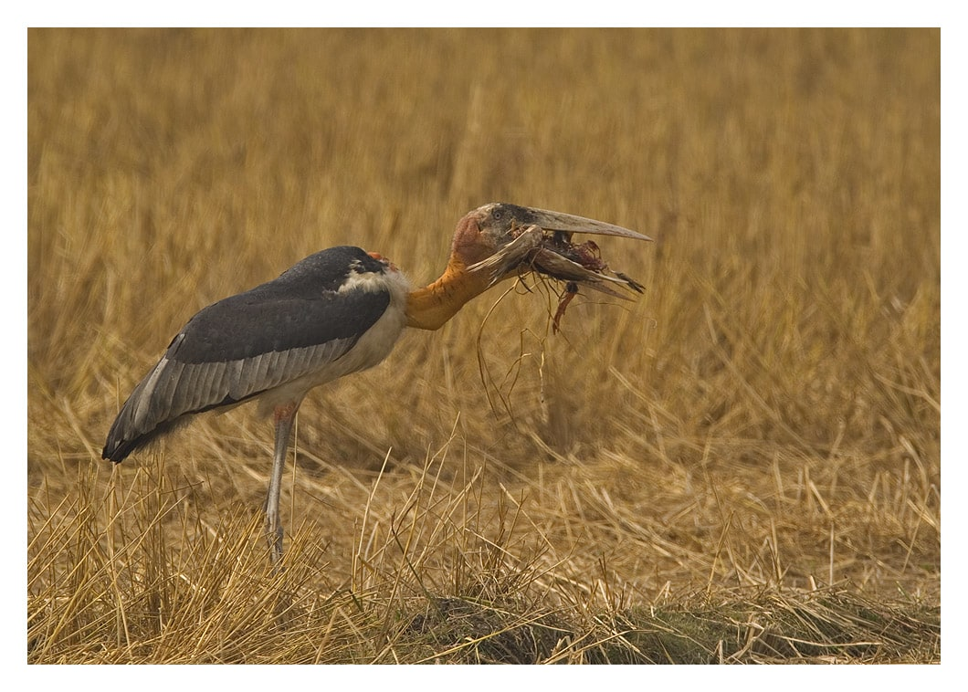 Its scavenger status is one of the reasons that the greater adjutant has a reputation for being unhygienic and a carrier of disease. In residential areas people have been known to torch their nests, even cut down trees where the birds roost, leading to a loss of life.  Photo: Dhritiman Mukherjee