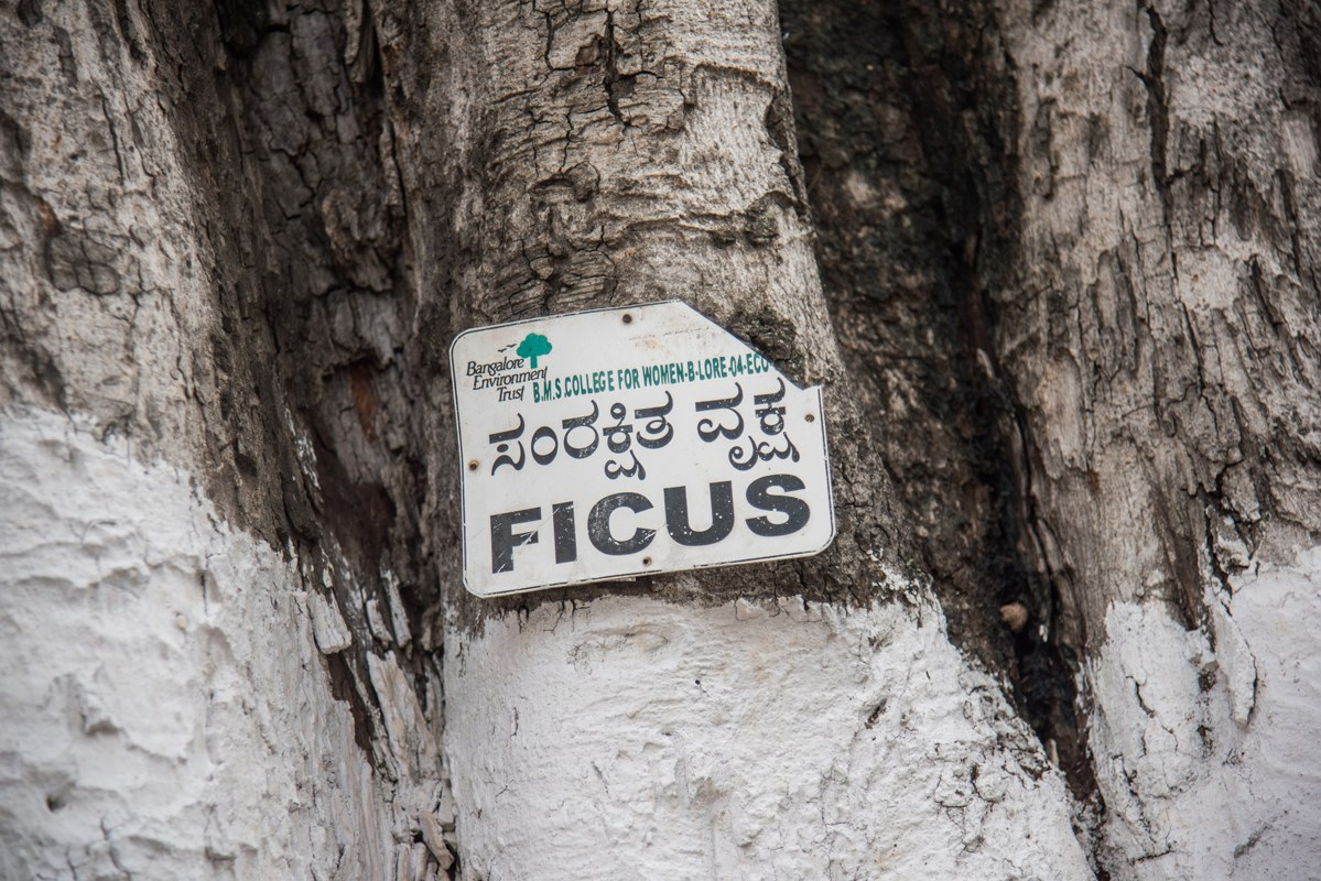 69 percent of these species observed at the sacred sites were native. Peepal (Ficus religiosa) and neem (Azadirachta indica) trees occurred frequently in the sacred sites followed by doob grass (Cynodon dactylon). Photo: Steevez Rodriguez/PEP Collective