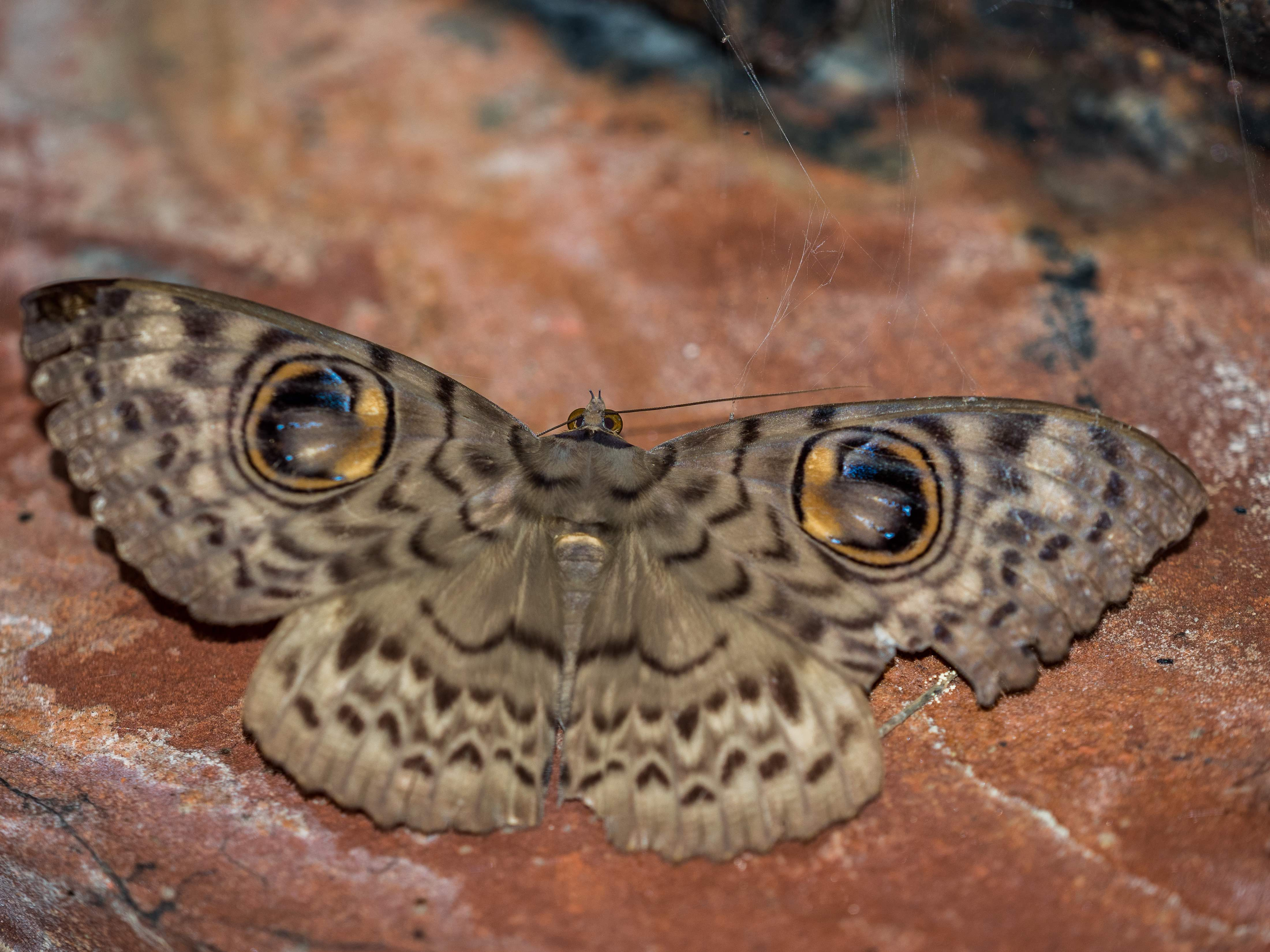 The owl moth has a striking pair of eye spots on its wings, ideal for scaring away predators.  (Cover) A captive audience of adults and children admire the insects attracted to the well-lit white screen they've gathered around at Asola-Bhatti Wildlife Sanctuary. Photos: Courtesy Conservation Education Centre