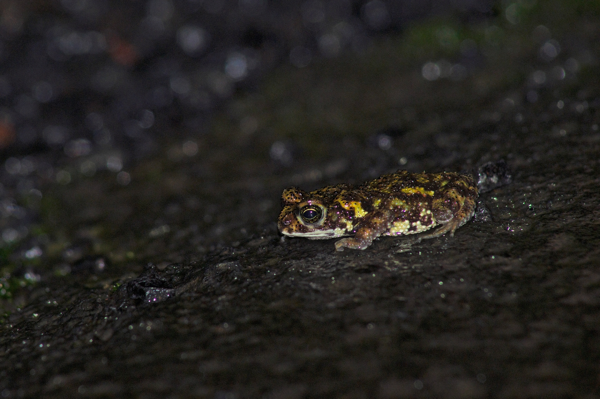 The Amboli tiger toad (Xanthophryne tigerina) gets its name from its unique coloration seen in the breeding season. It is similar to the big cat, which anecdotal reports suggest also inhabit these forests. There are only two species that belong to this ancient genus, both found only in Maharashtra (its sister species, the Koyna toad occurs in the Koyna Wildlife Sanctuary, Satara).