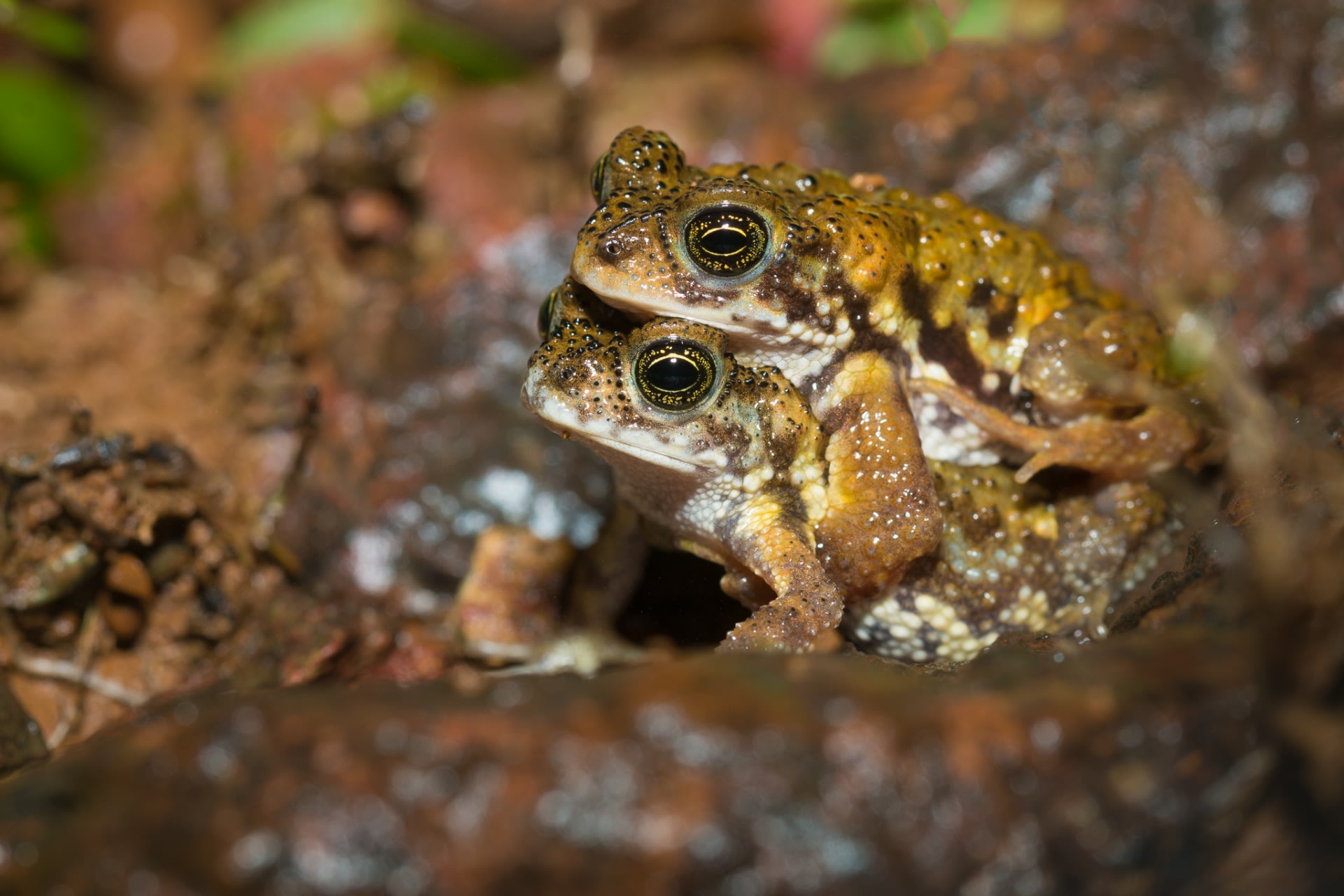 Early monsoon (June) is probably the best time to see the threatened Amboli toad as it is their mating season. Depending on the intensity of rainfall, they can be seen in large numbers out in the open on lateritic plateaus. The females lay eggs in the small pools that form on the plateau with the rain.
