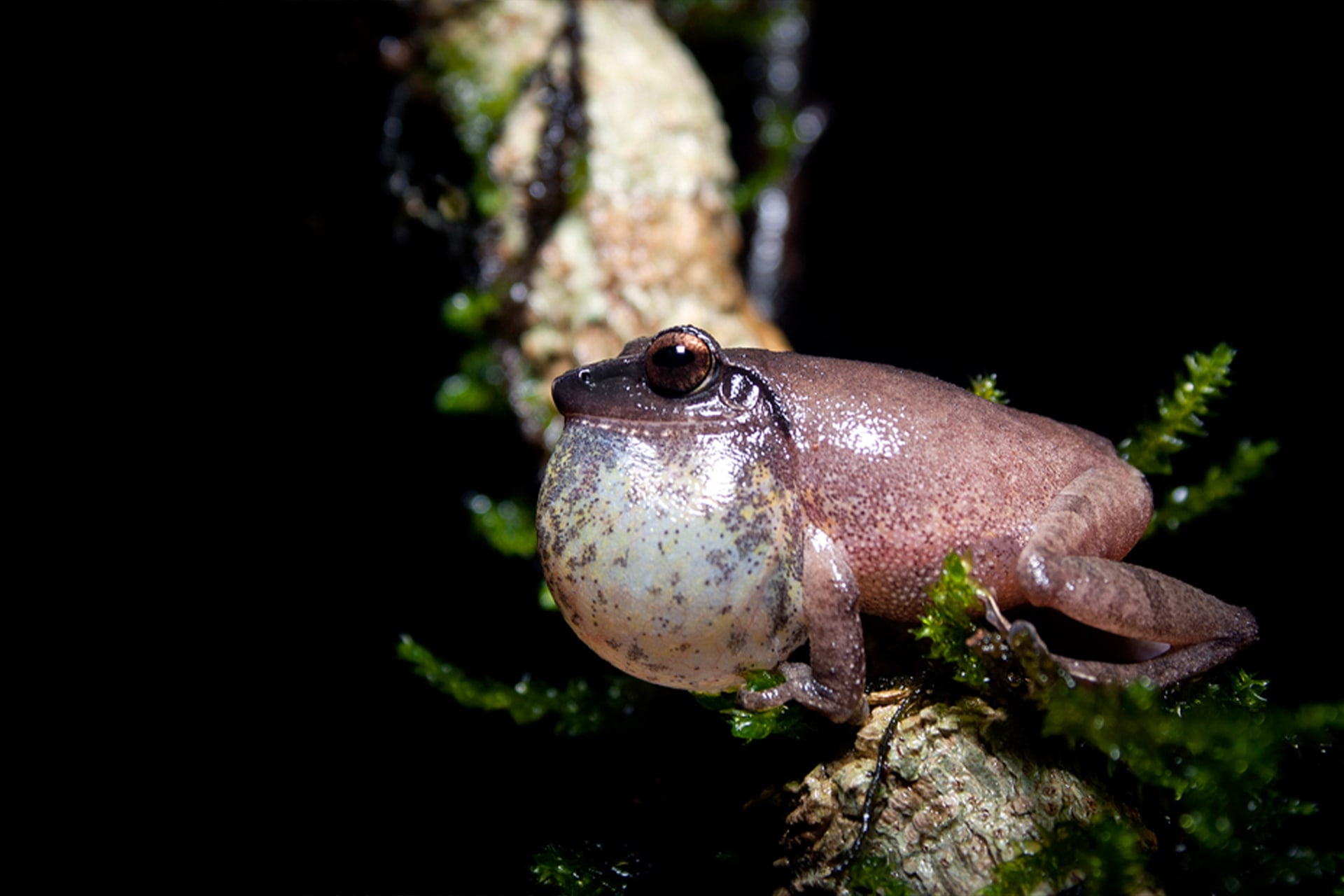 The Amboli bush frog while endemic to the Western Ghats, has a larger range than the Amboli toad, and can be seen in certain moist evergreen habitats in Maharashtra and Karnataka. It is best identified by its 'trrrrri'call, the vocal sac balloons when it calls out, and the dark tympanum (circular membrane behind the eye).