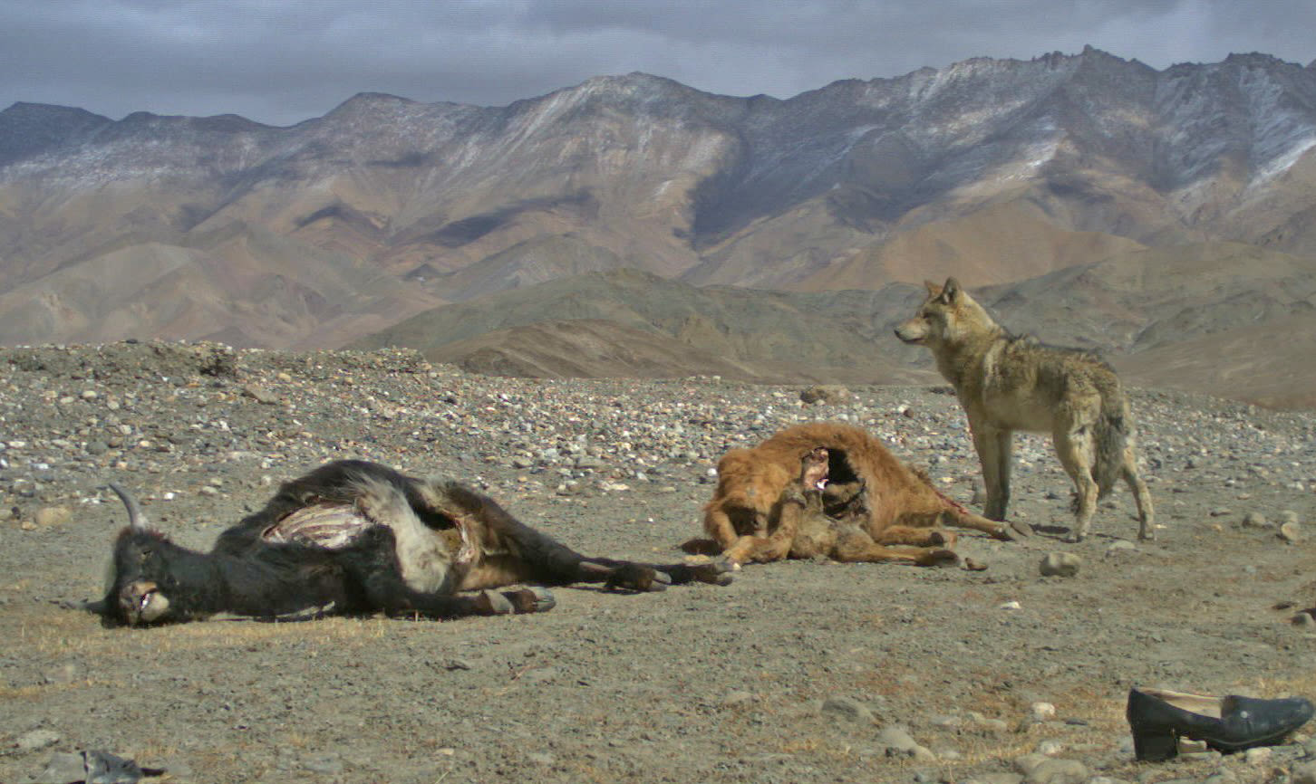 A wolf scavenges on dead cattle around the village of Hanle. Though they are excellent hunters, the wolves will not forgo access to a quick meal. Photo: Subhashini Krishnan