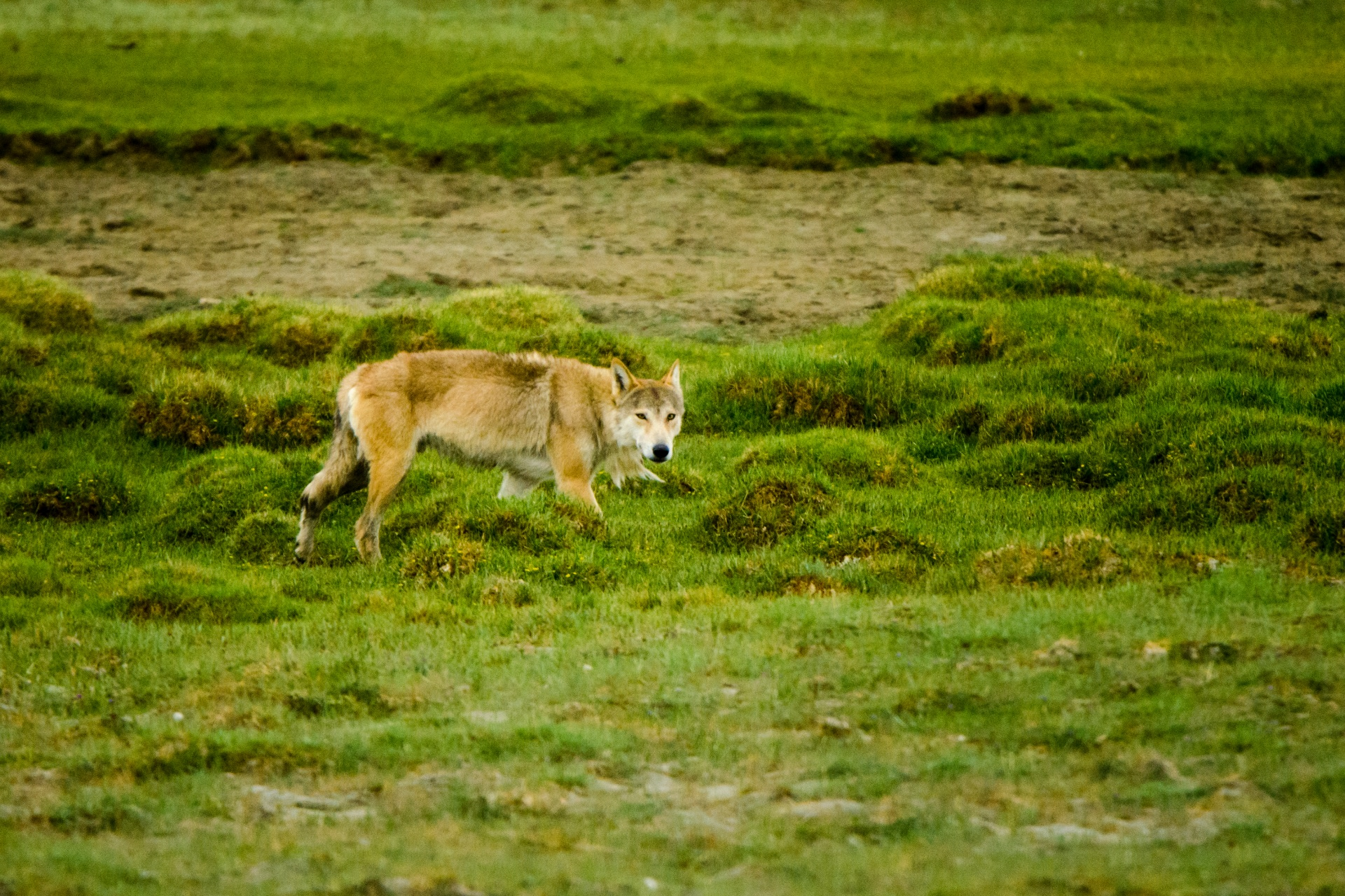 A Tibetan wolf curiously inspects the human presence in its territory. Known interchangeably as Tibetan or Himalayan wolves, these genetically-unique wolves await formal classification. Photo: Saurabh Sawant