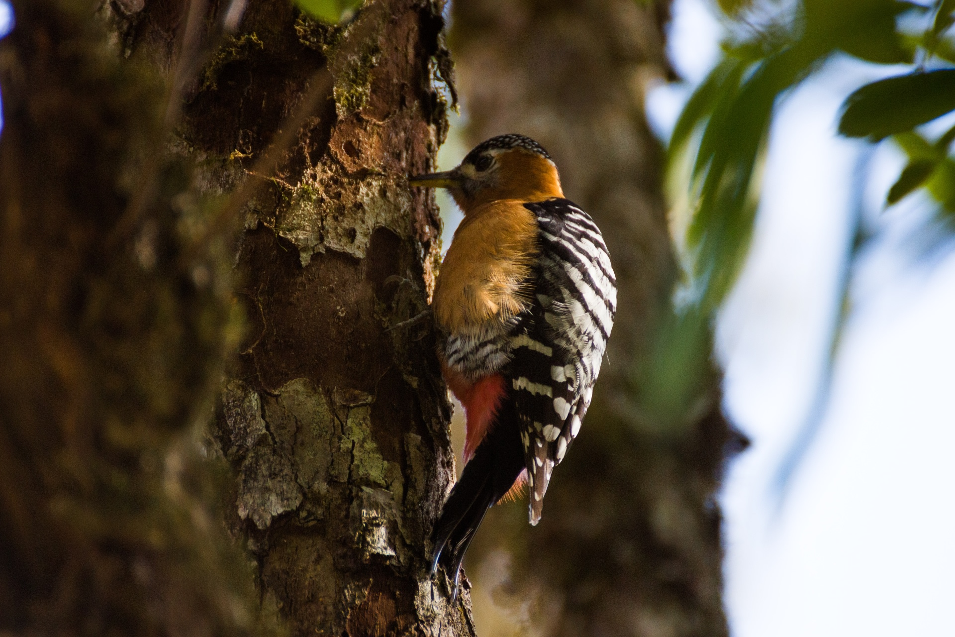 A female rufous-bellied woodpecker can be identified by its black crown and the absence of the bright red on its head. Photo: Tarun Menon