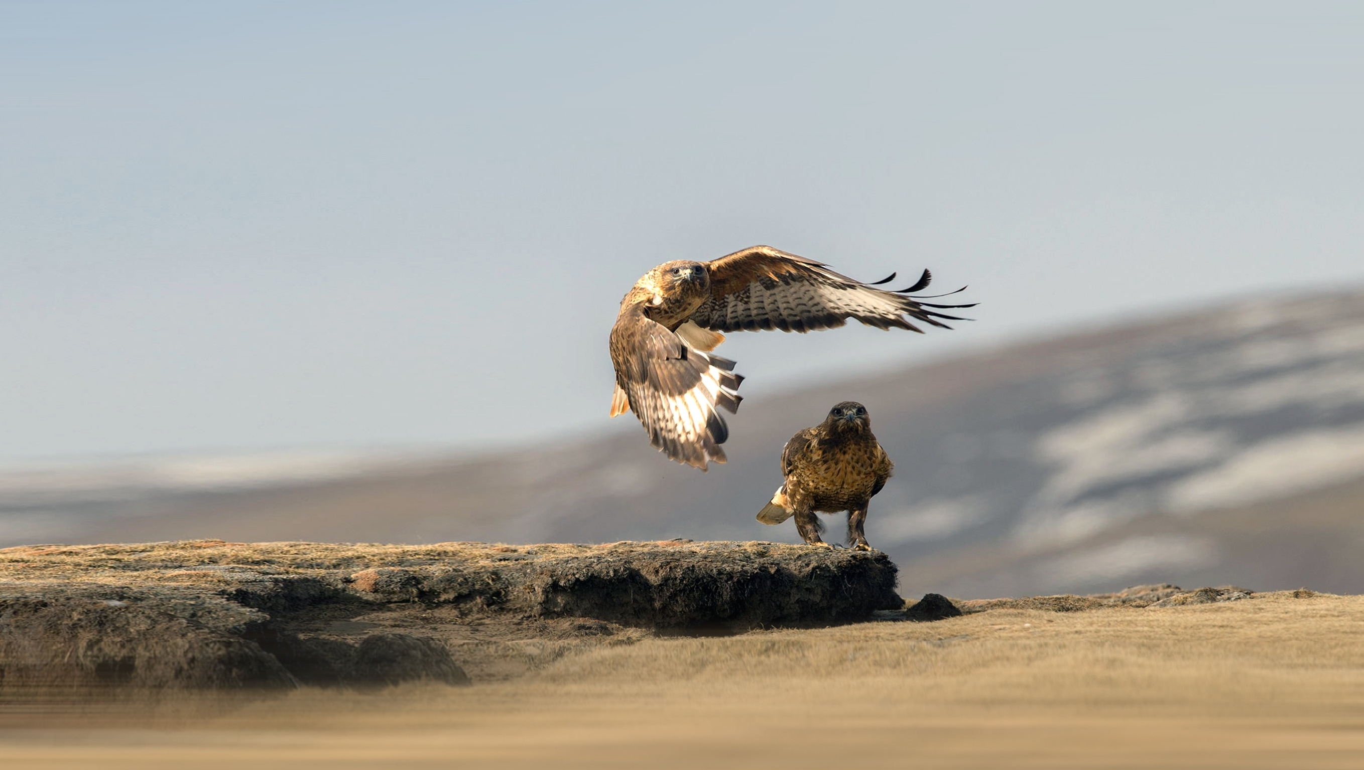 The upland buzzard is a solitary bird, and pairs up only during breeding season when they go through a courtship and nesting period. Photo: Wang LiQiang/Shutterstock