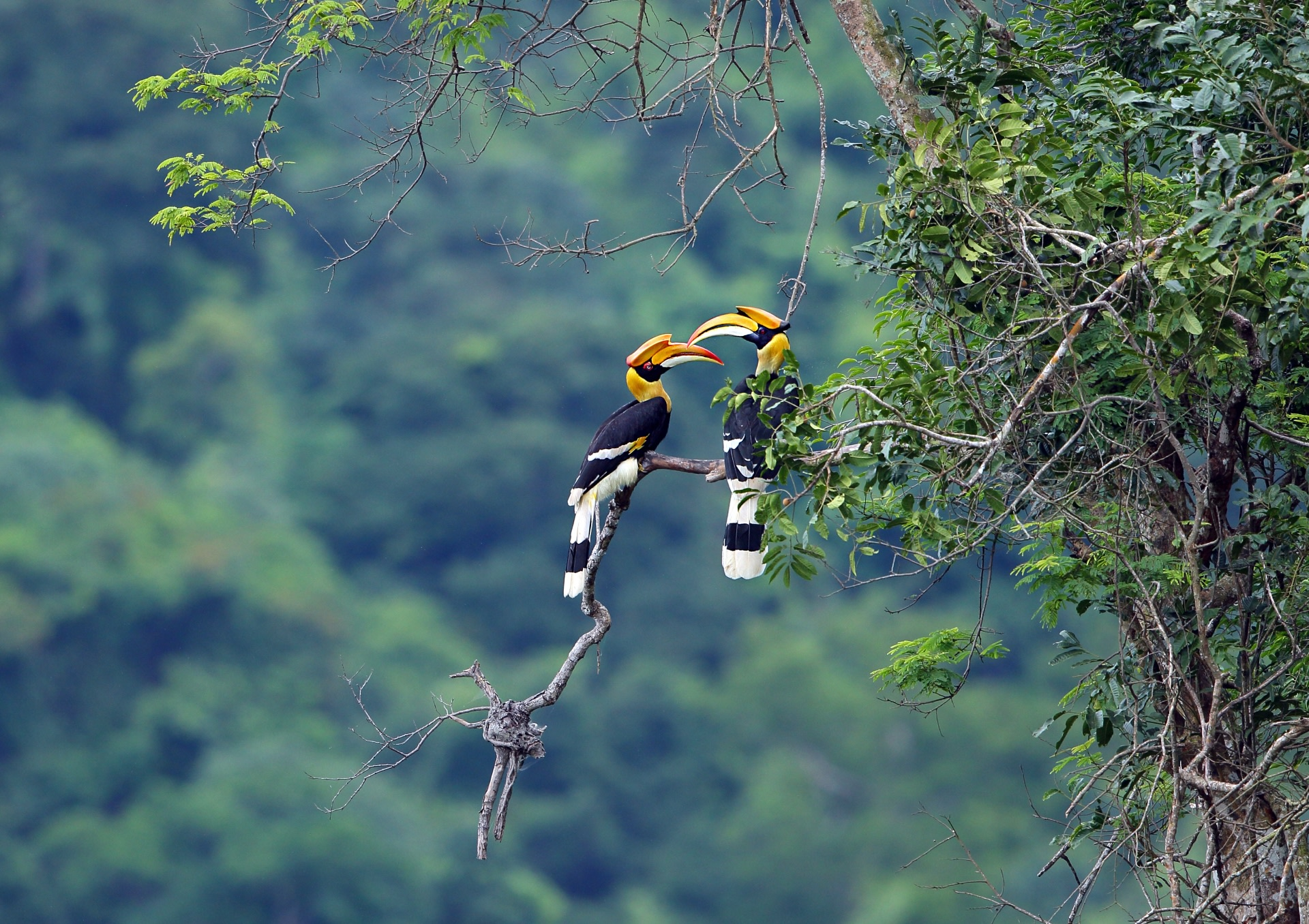 (Right) Great hornbills are territorial birds and live in the same region all their lives. They also form monogamous pairs, and mate for life. Photo: teekayu/ Shutterstock