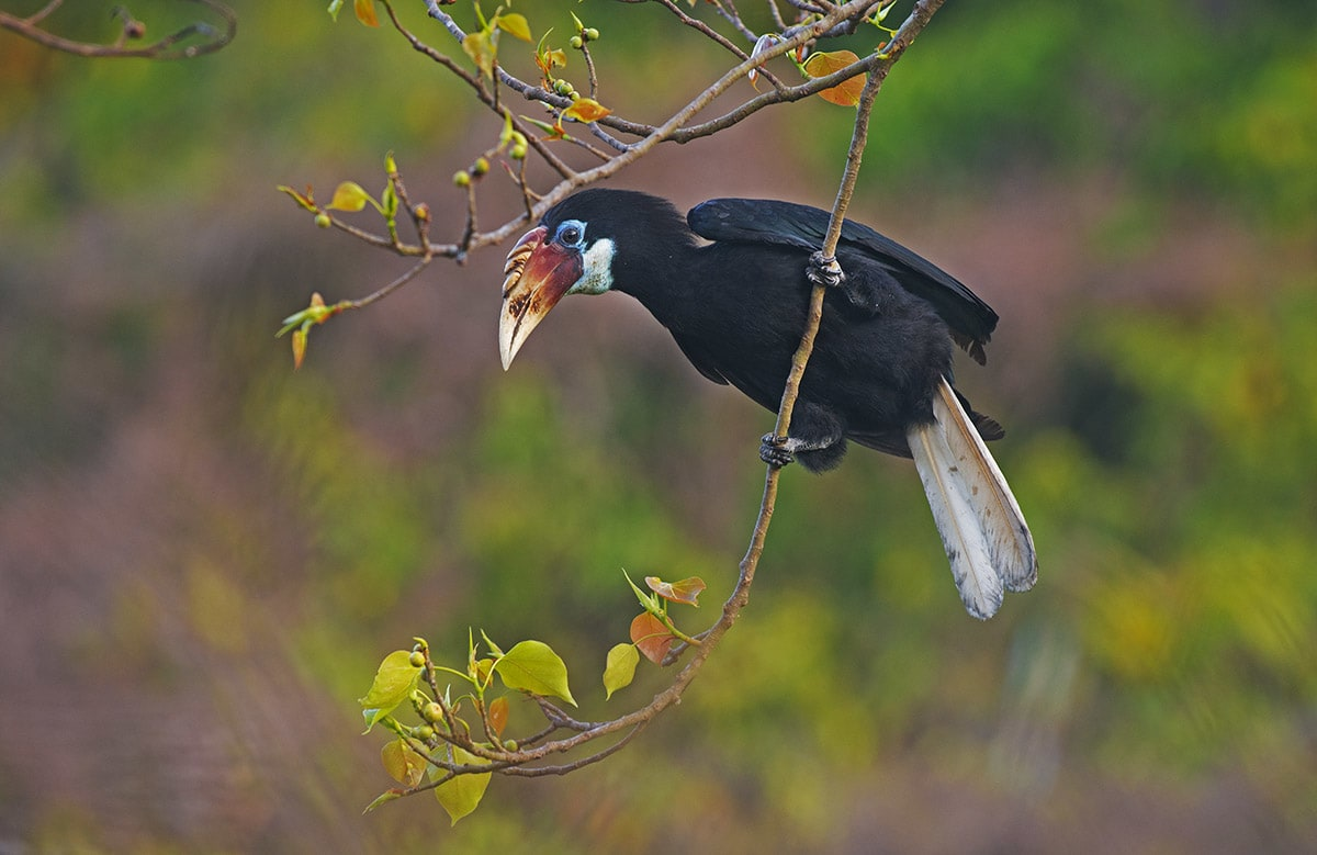 The Narcondam hornbill is endemic to the Andamans, but a shrinking habitat is threatening its survival. Less than 249 survive in the wild. Photo: Dhritiman Mukherjee
