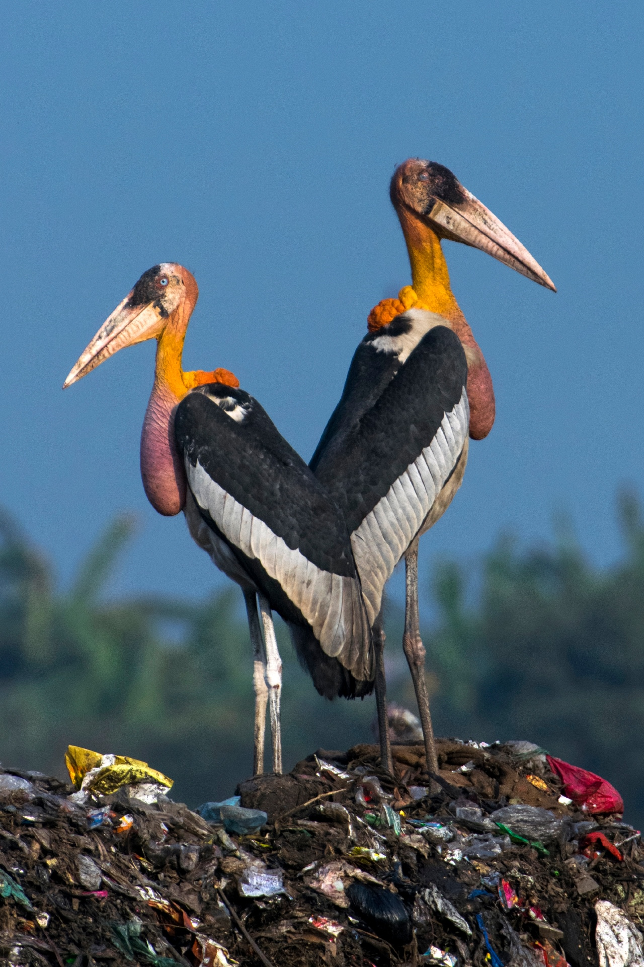 Standing around 1.5 m tall, the greater adjutant stork is a scavenger, feeding mainly on carrion. Photo: Udayan Borthakur