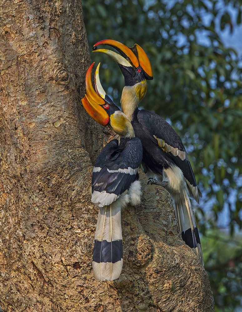 """Great hornbills nest in hollow tree cavities, though they do not excavate these tree cavities themselves. Instead, males and females scour the forest for the perfect hole: high enough to afford security from ground dwellers, camouflaged so rival hornbills don't see them, and large enough to fit an adult female and her eggs. Picking the right spot is crucial as pairs return to the same nest year after year, to raise their young together. """"There is a pair of hornbills in the Anaimalai Hills, that has been using the same nest for 28 years,"""" says Pooja Pawar. Photo: Dhritiman Mukherjee"""