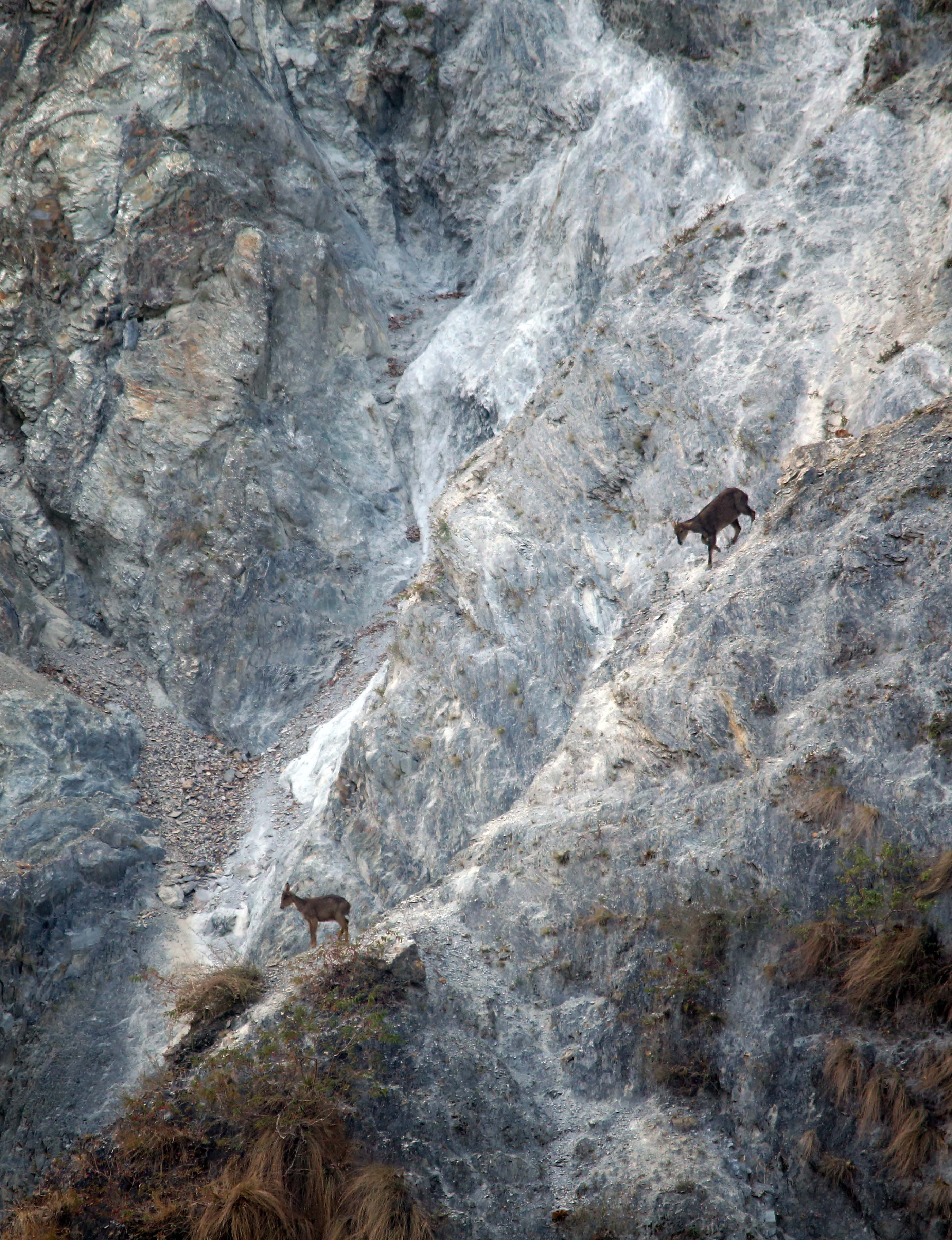 Active at dawn and dusk, the goral can camouflage itself well on rocky ledges and is not easily spotted. Photo: Surya Ramachandran