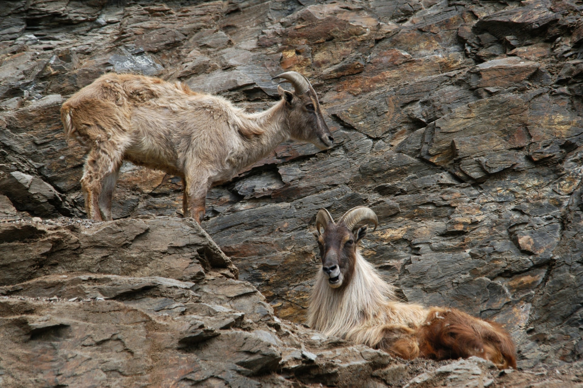A long mane and longer horns, which can grow up to 45 cm, helps to distinguish the male Himalayan tahr from the female. Photo: Vladimir Wrangel/Shutterstock