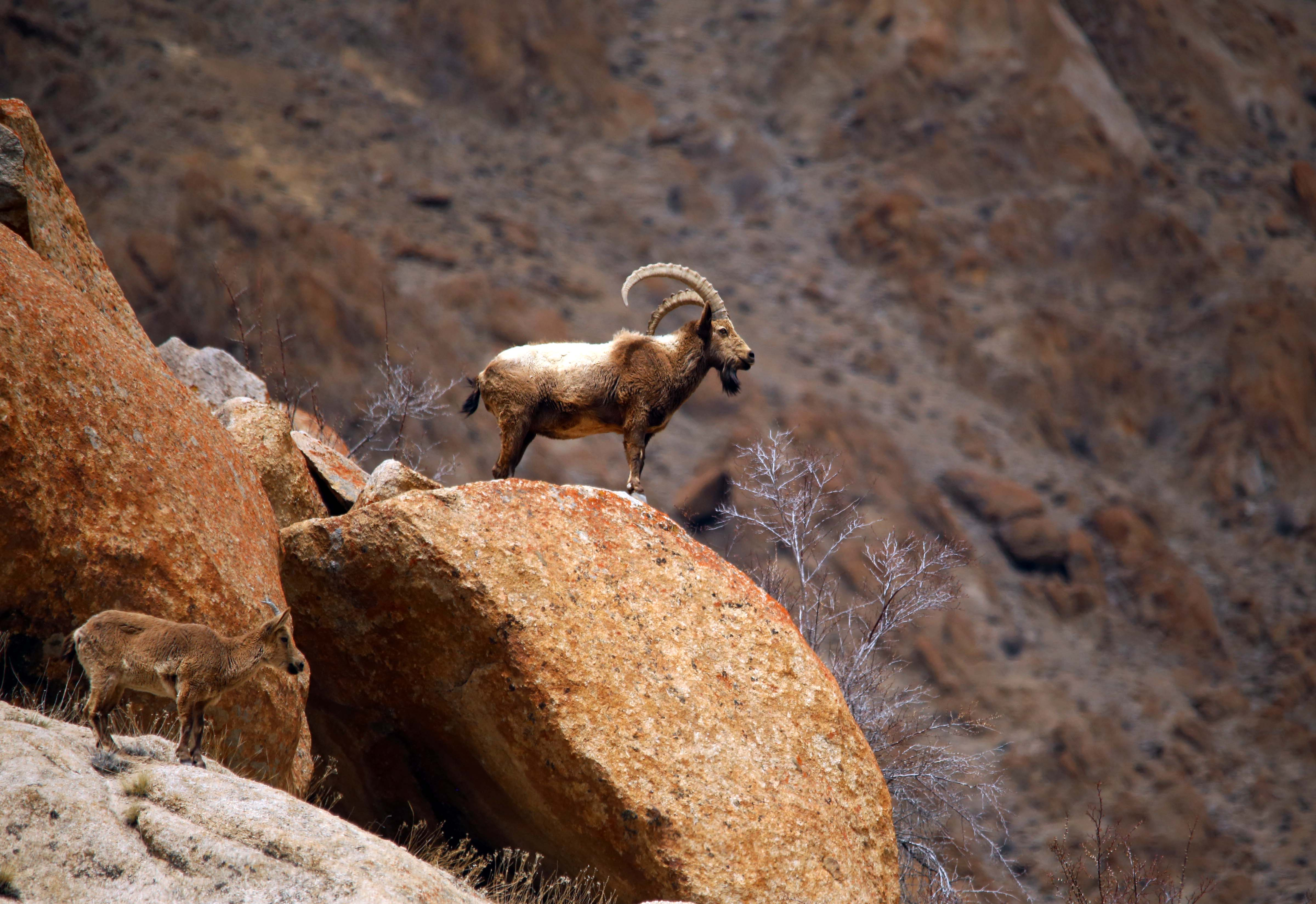 The Siberian ibex is found in the mountains of South and Central Asia, including the Himalayas in India and Pakistan, at elevations above 3,800 m. Photo: Surya Ramachandran